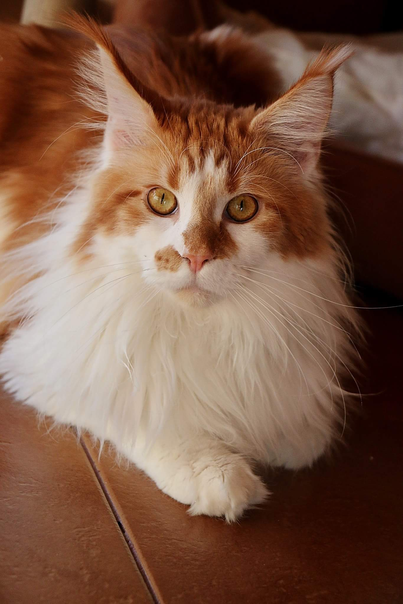 otec koťat Nikko Luxury Coon's, SK