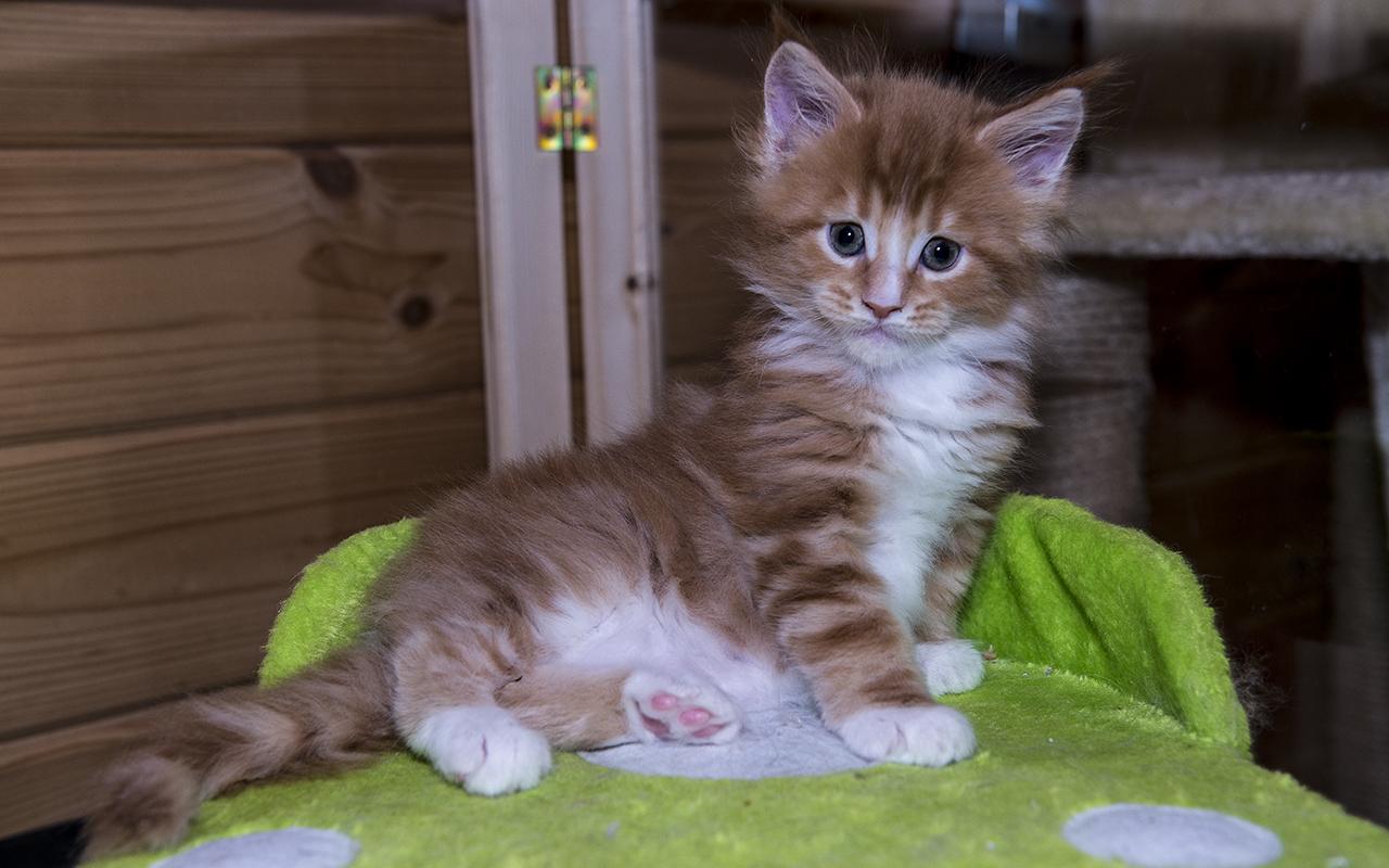 kočka VRH A: Anabell von Erillian, CZ