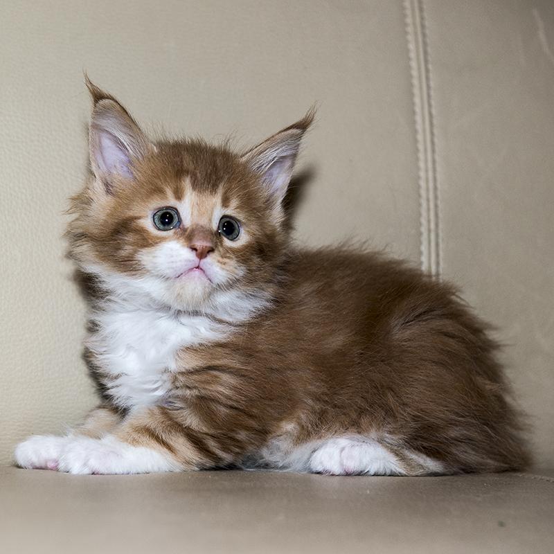 fotka kočky VRH A: Assire von Erillian, CZ