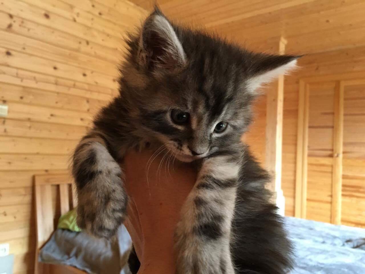 fotka kočky VRH B: Bastien von Erillian, CZ