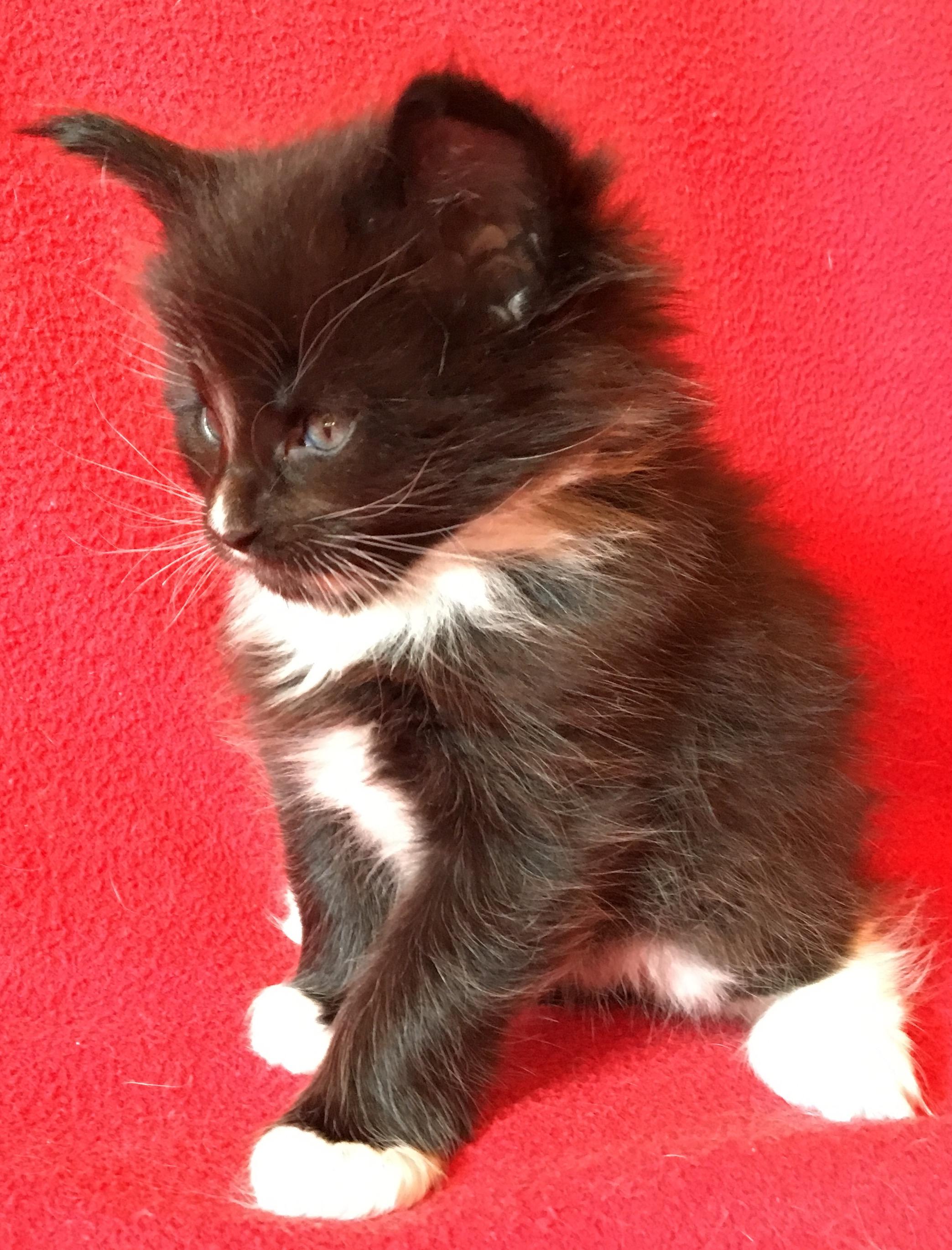 fotka kočky VRH C: Caesar Nikk von Erillian,CZ