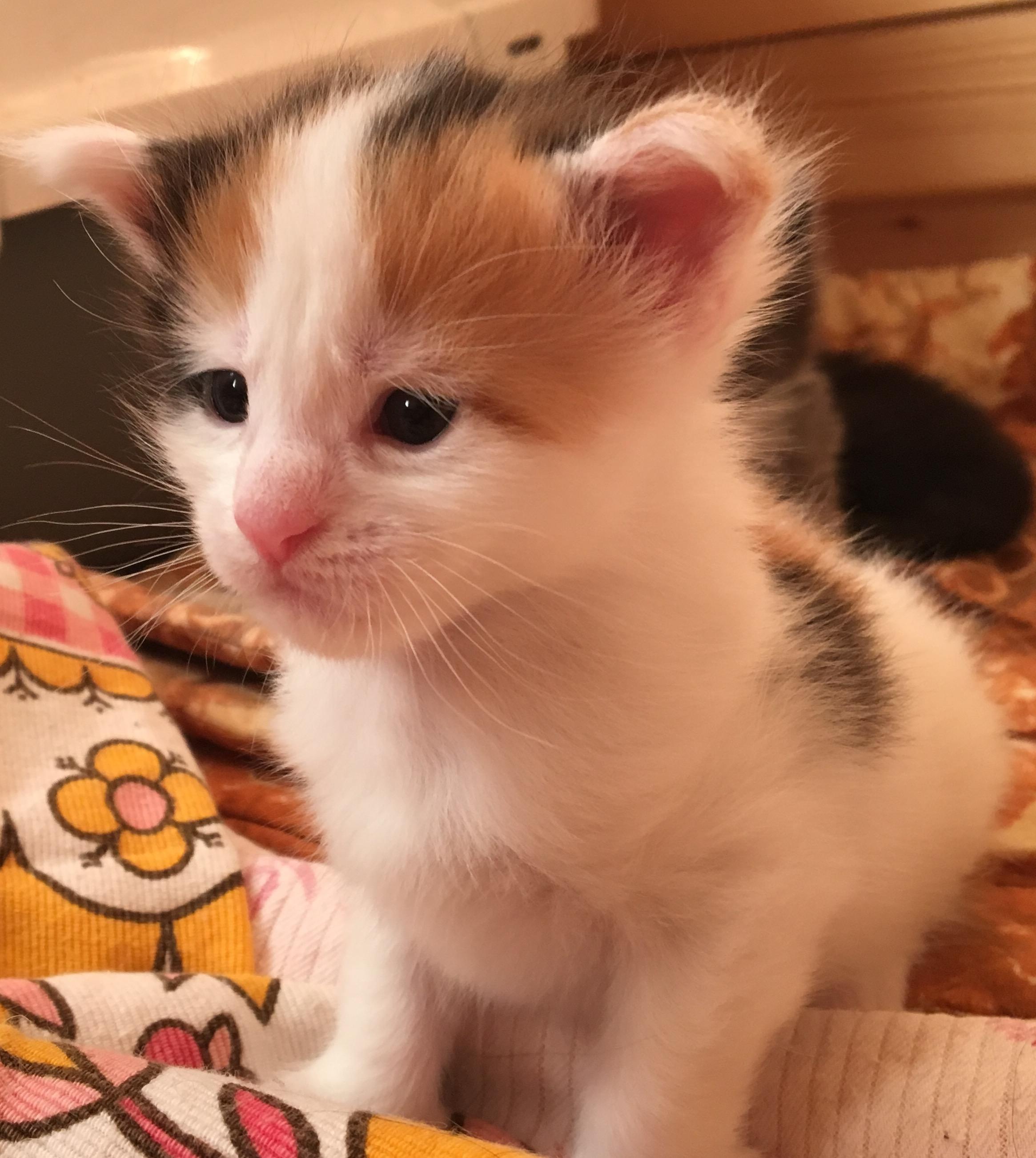 kočka VRH C: Cara Nikk von Erillian,CZ