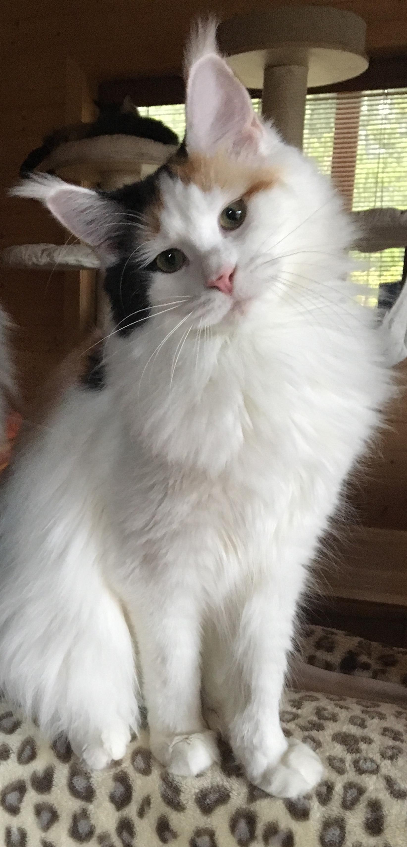 fotka kočky Cara Nikk von Erillian,CZ
