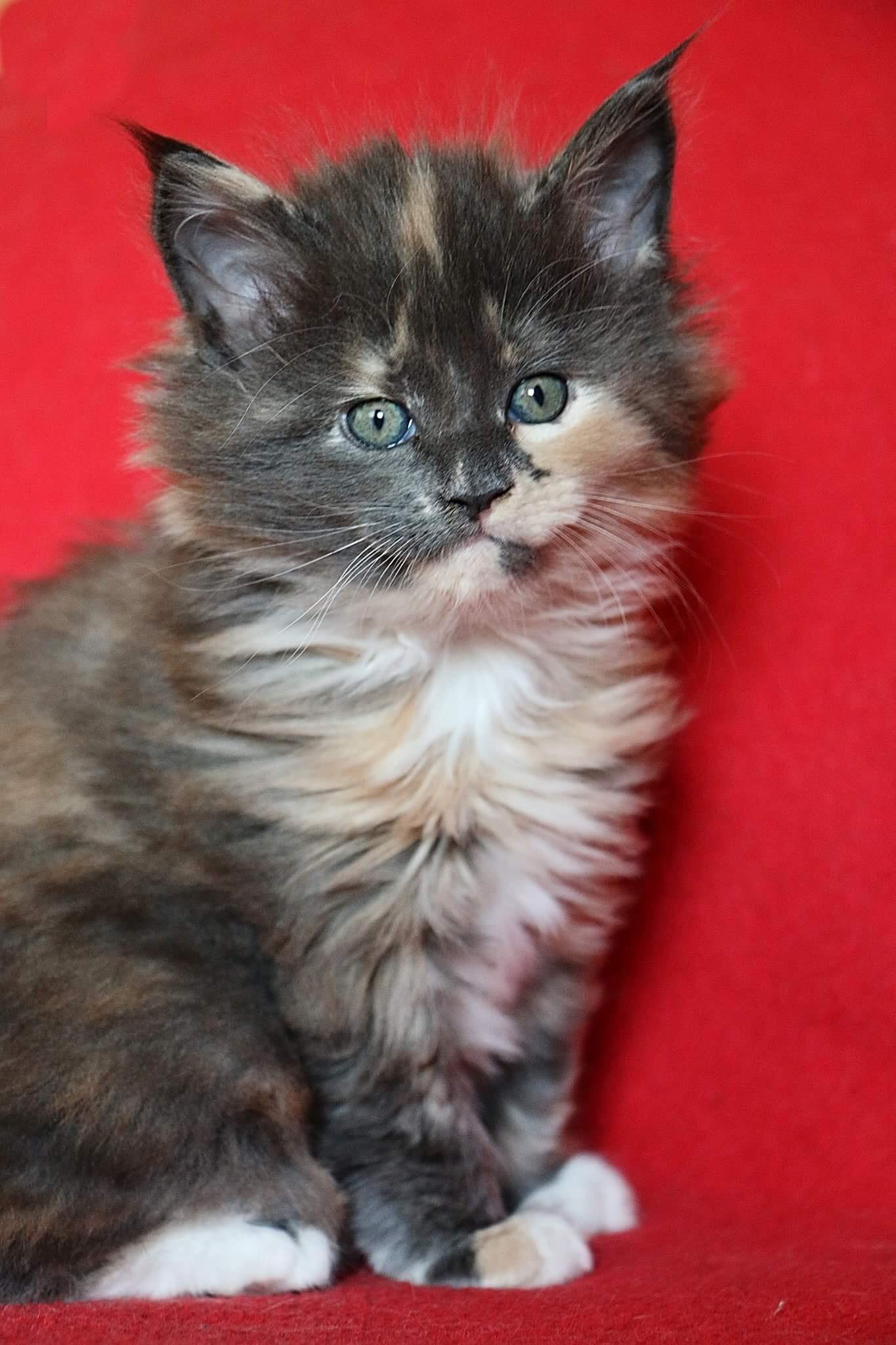 fotka kočky Vrh D: Digi Nikk von Erillian, CZ