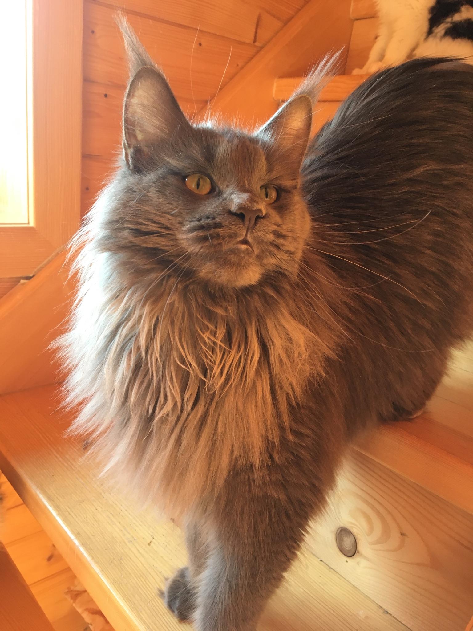 fotka kočky CampoDaCoon ´s Talia