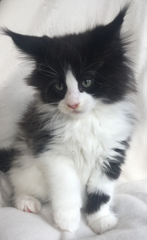 fotka kočky VRH E: ELVIS von ERILLIAN*CZ 👦🏻