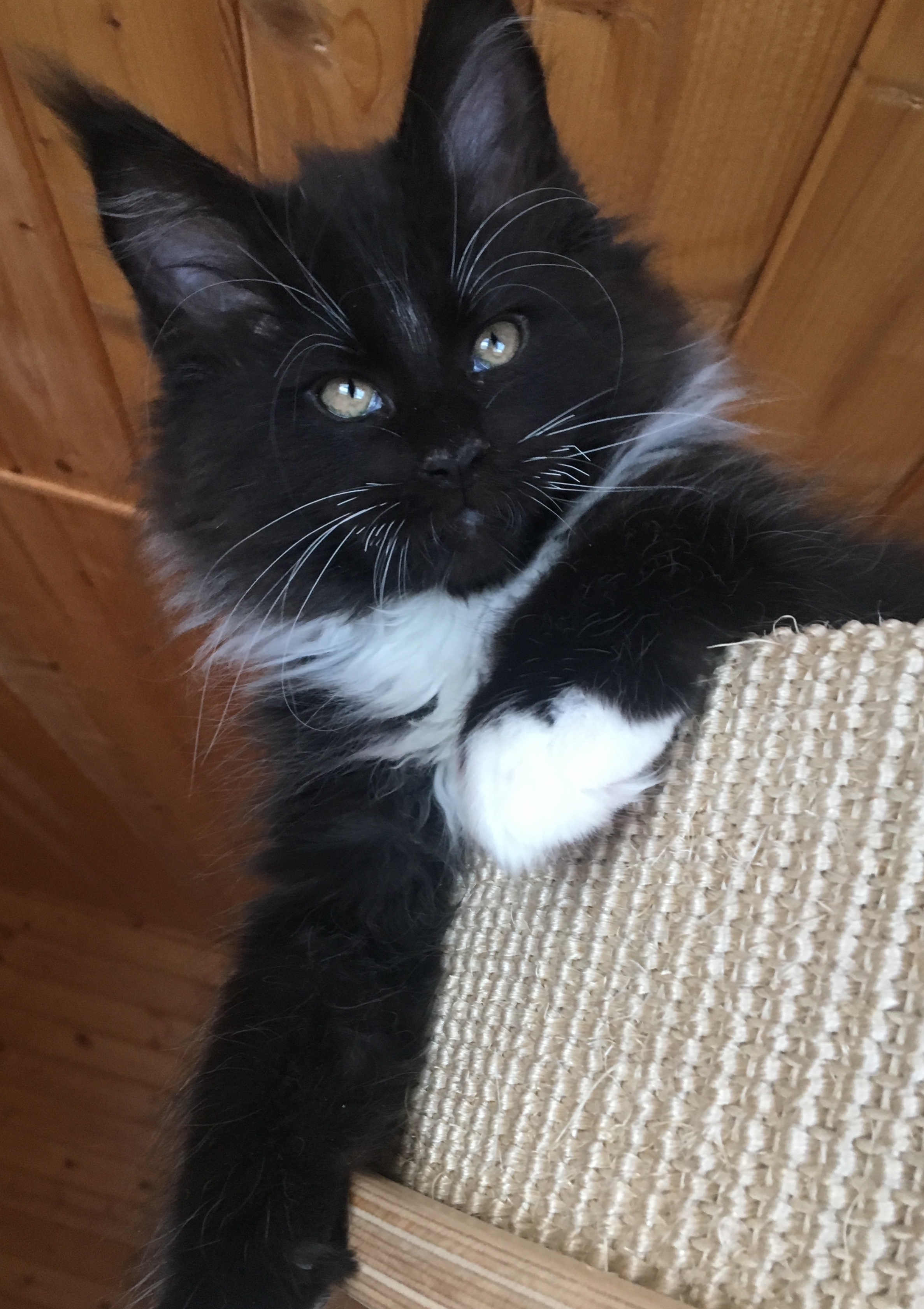 fotka kočky VRH E: EDDIE von ERILLIAN*CZ 👦🏻