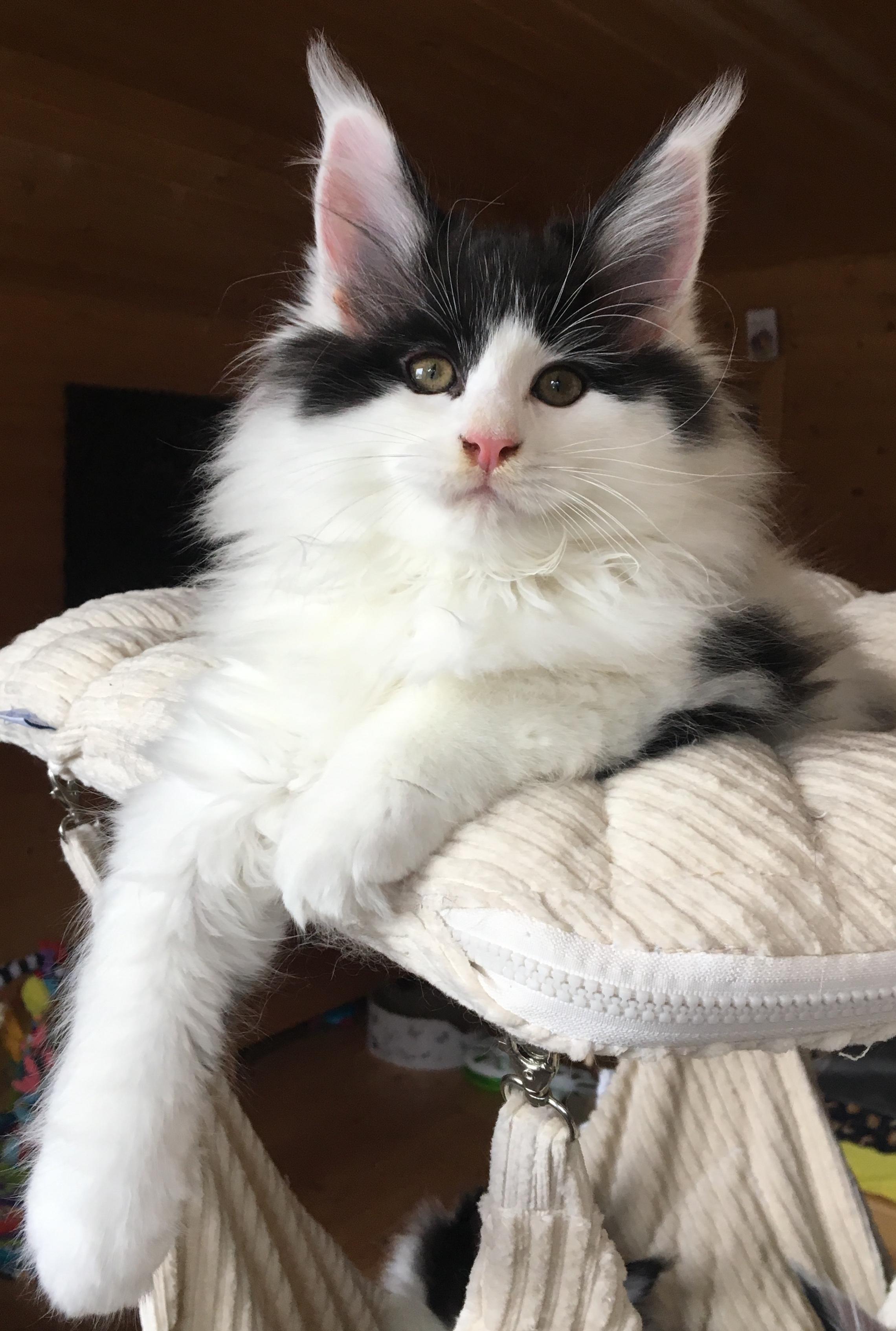 fotka kočky VRH E: ELLEGÁN von ERILLIAN*CZ 👦🏻