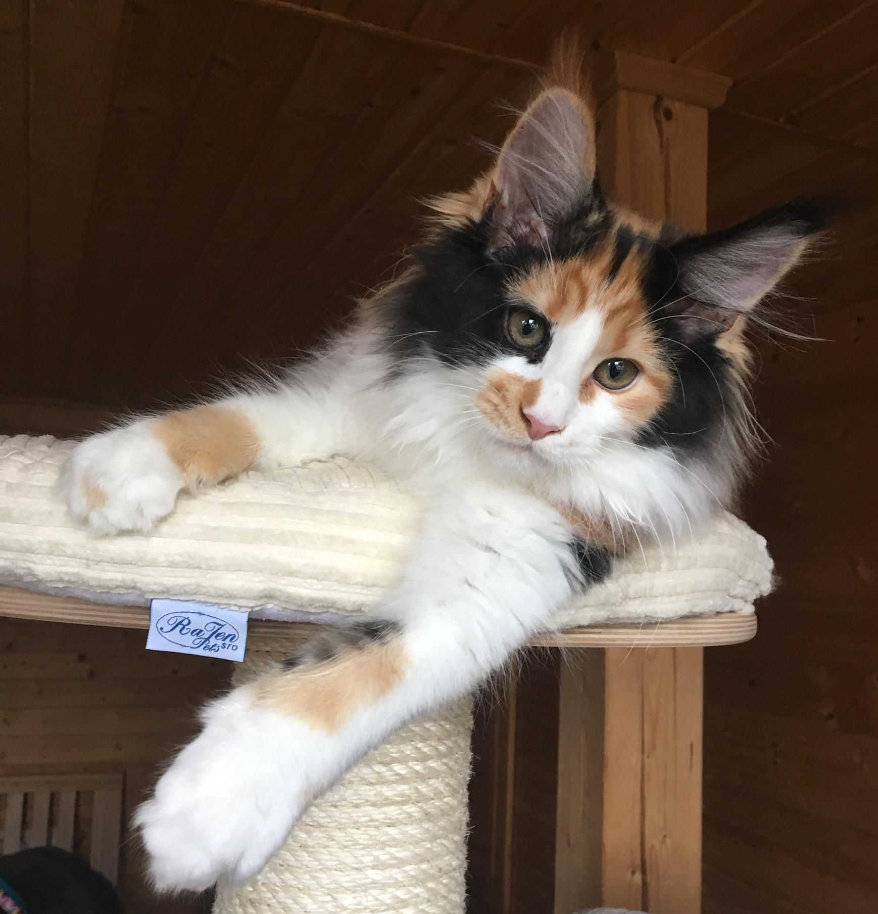 fotka kočky VRH E: ELSA von ERILLIAN*CZ   👧🏼