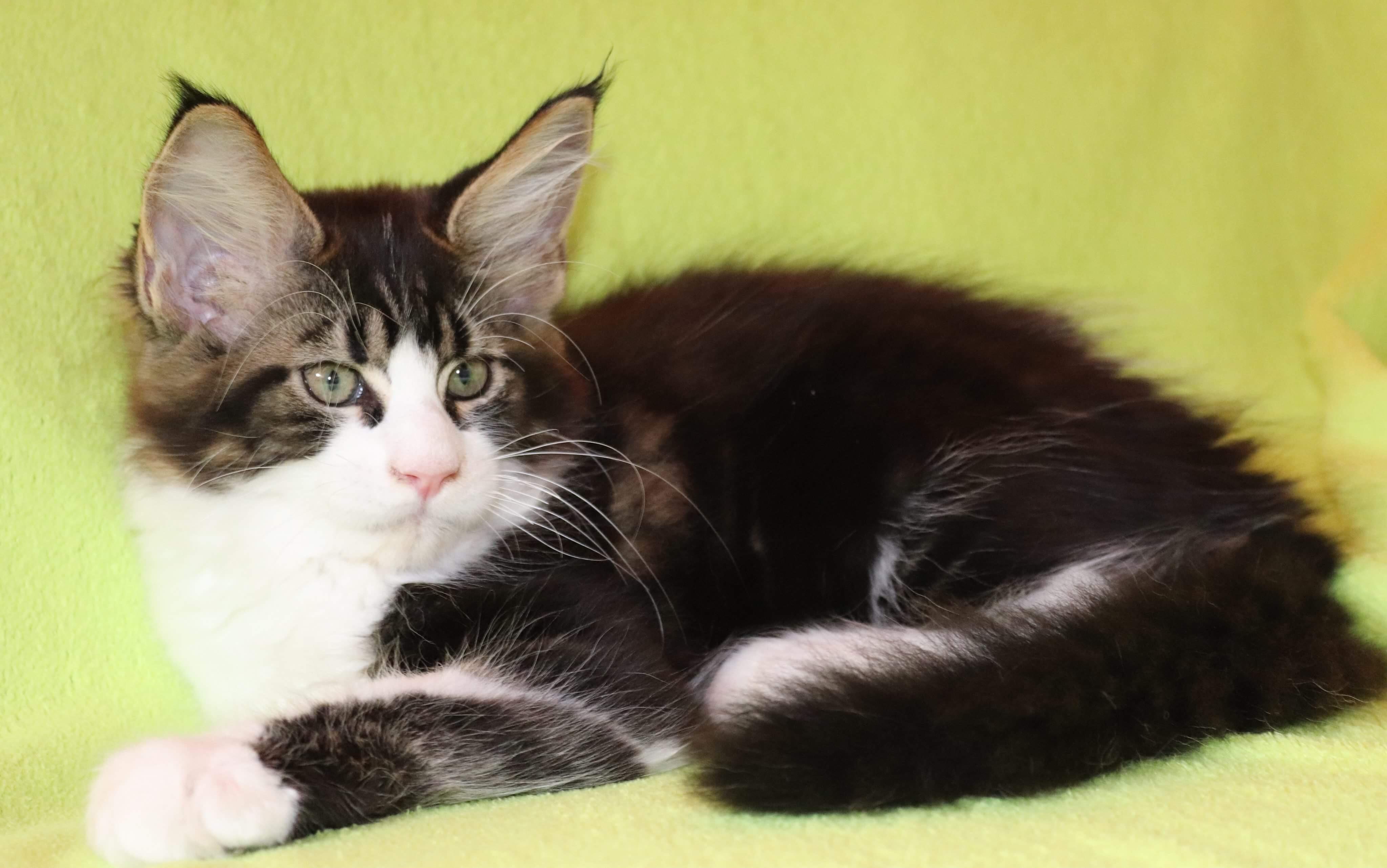 fotka kočky VRH F: FRUGO von ERILLIAN*CZ 👦🏻