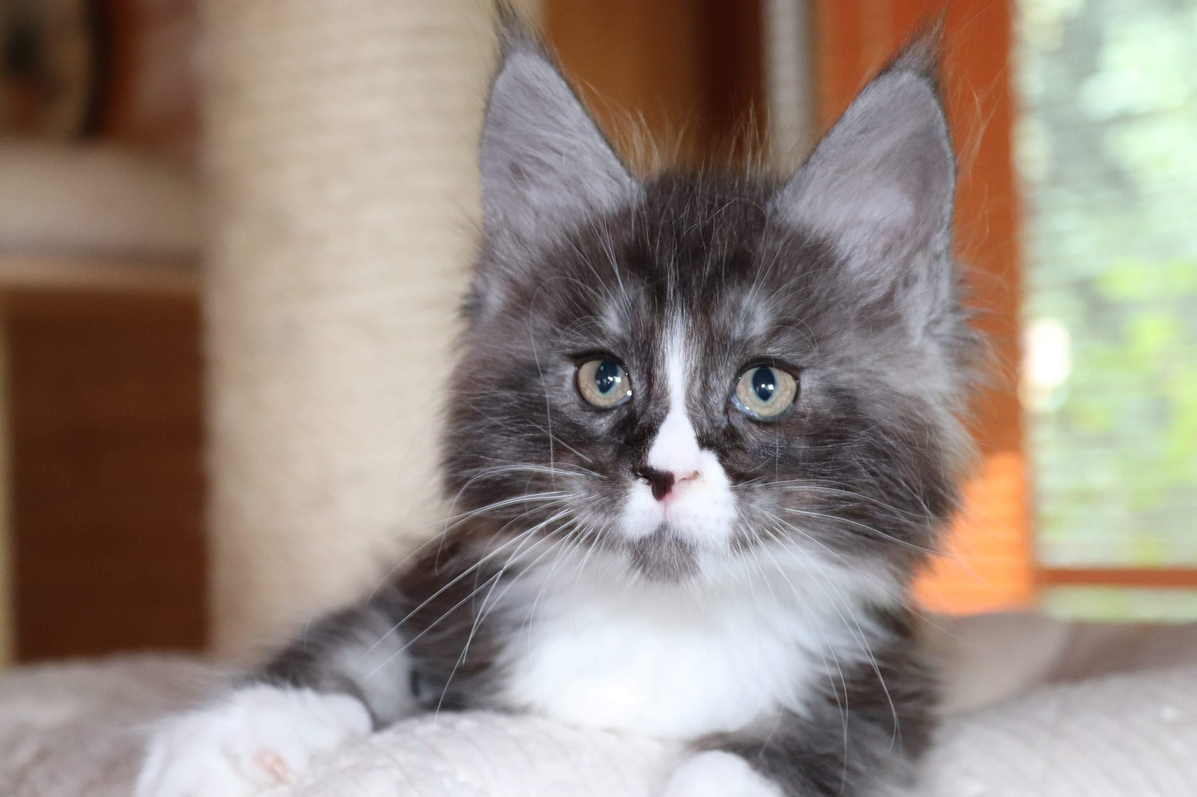 fotka kočky VRH G: GEORGE von ERILLIAN*CZ 👦🏻