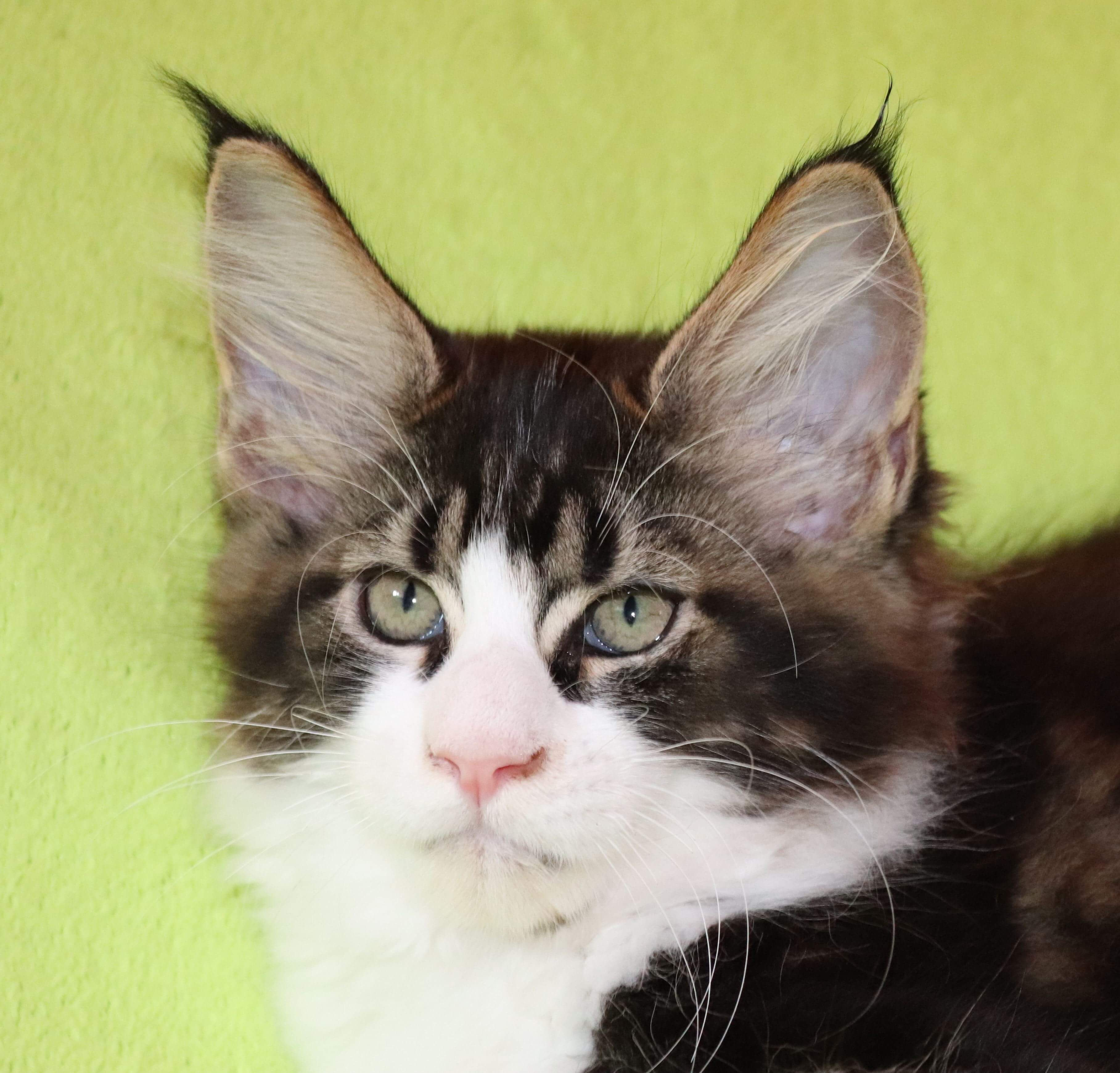 kočka VRH F: FRUGO von ERILLIAN*CZ 👦🏻