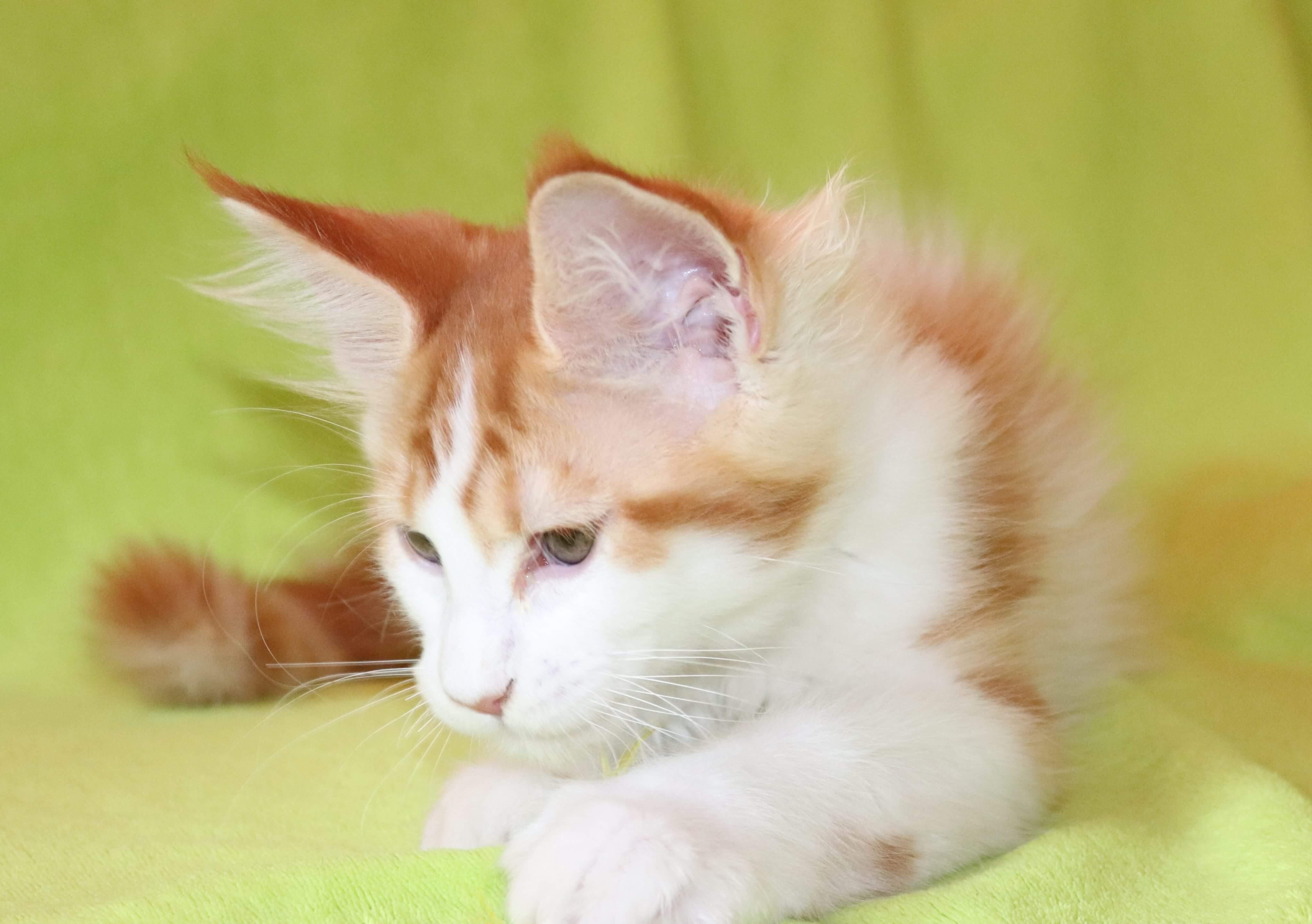kočka VRH F: FALCO von ERILLIAN*CZ 👦🏻