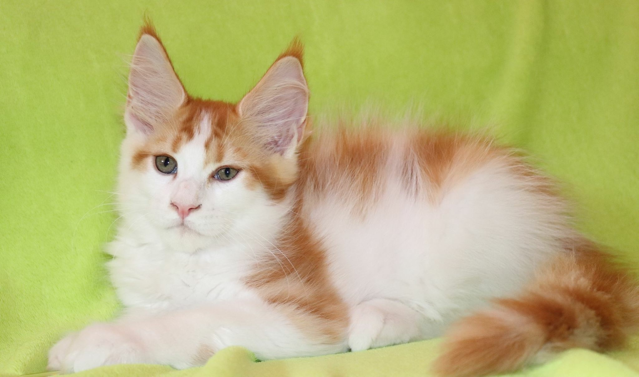 fotka kočky VRH F: FALCO von ERILLIAN*CZ 👦🏻