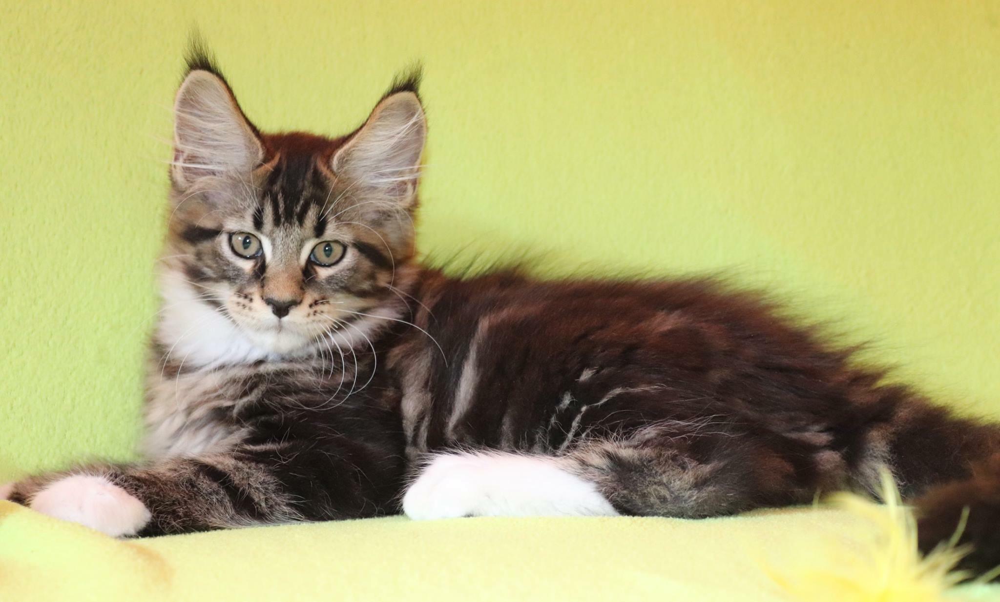 fotka kočky VRH F: FILIP von Erillian*CZ 👦🏻