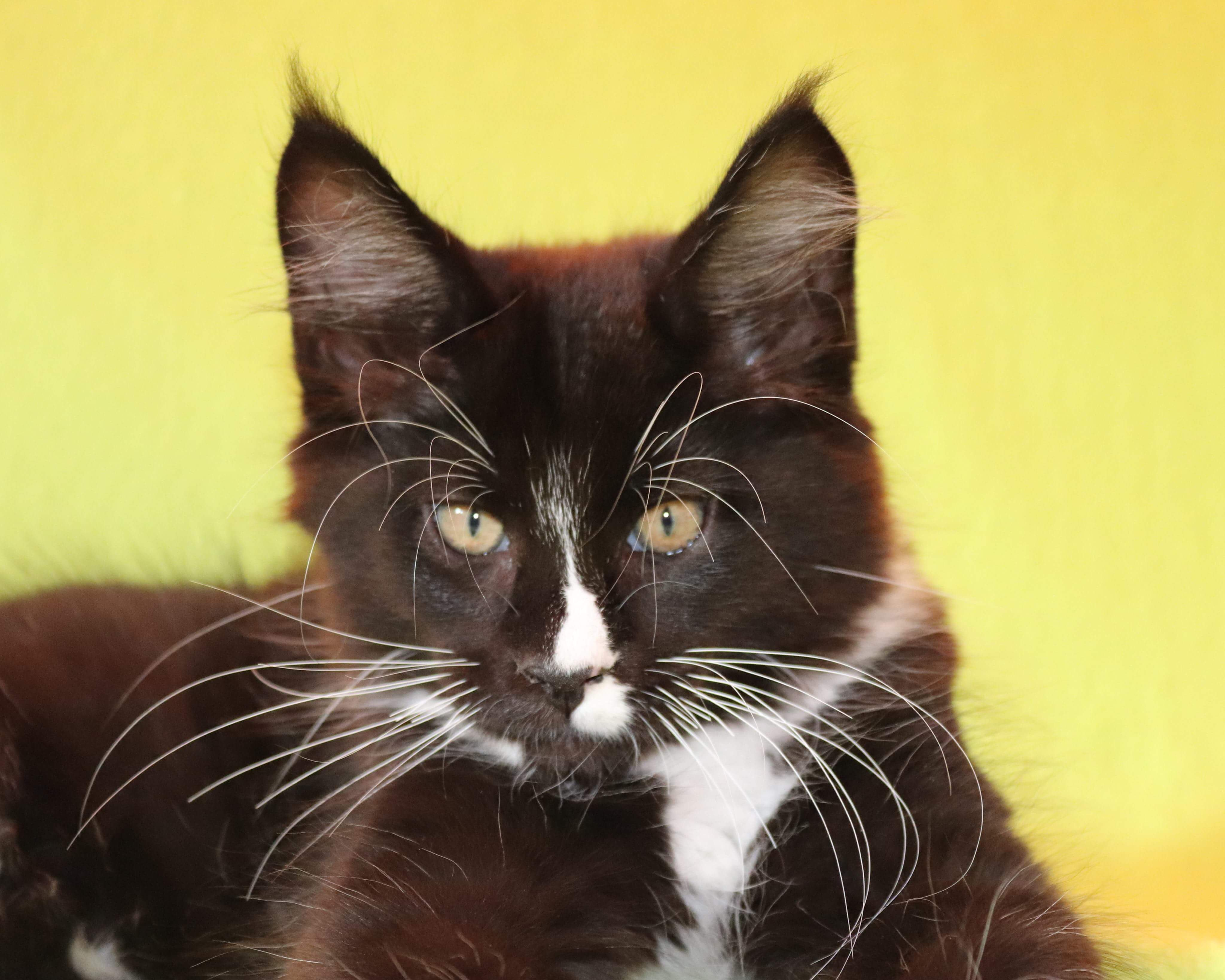 kočka VRH F: FIDO von ERILLIAN* CZ👦🏻