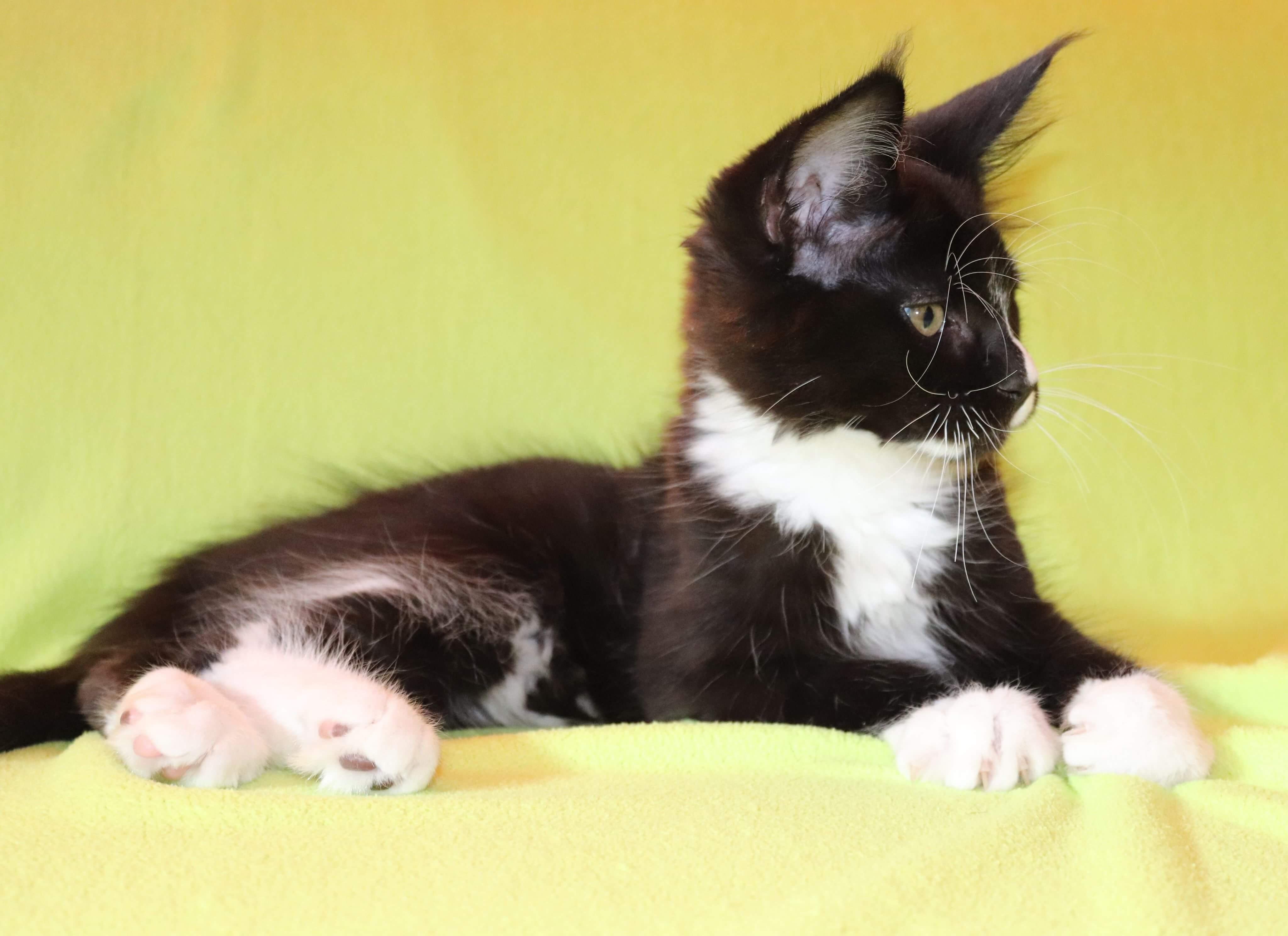 fotka kočky VRH F: FIDO von ERILLIAN* CZ👦🏻