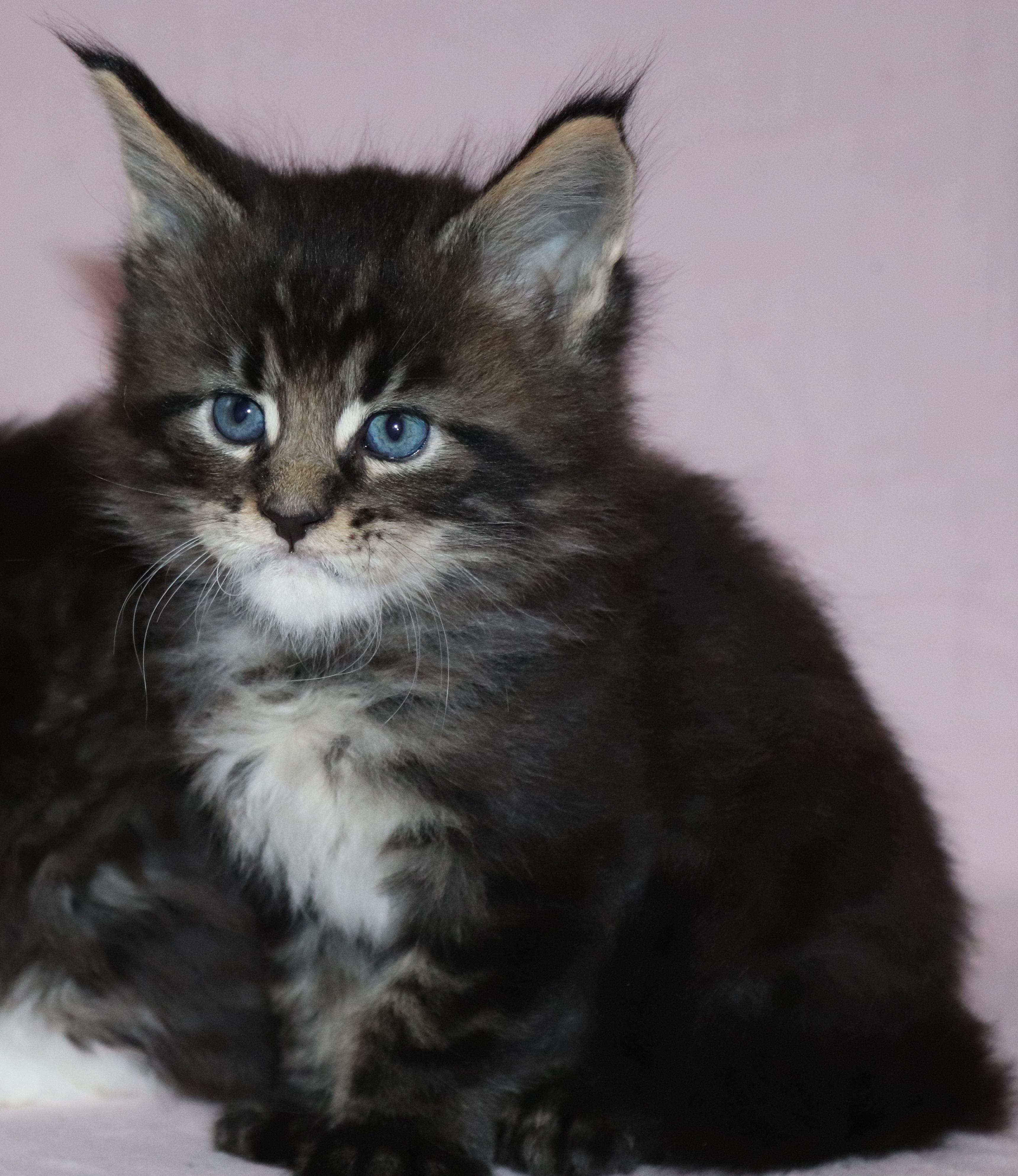 fotka kočky VRH H: HUGO von Erillian*CZ 👦🏻