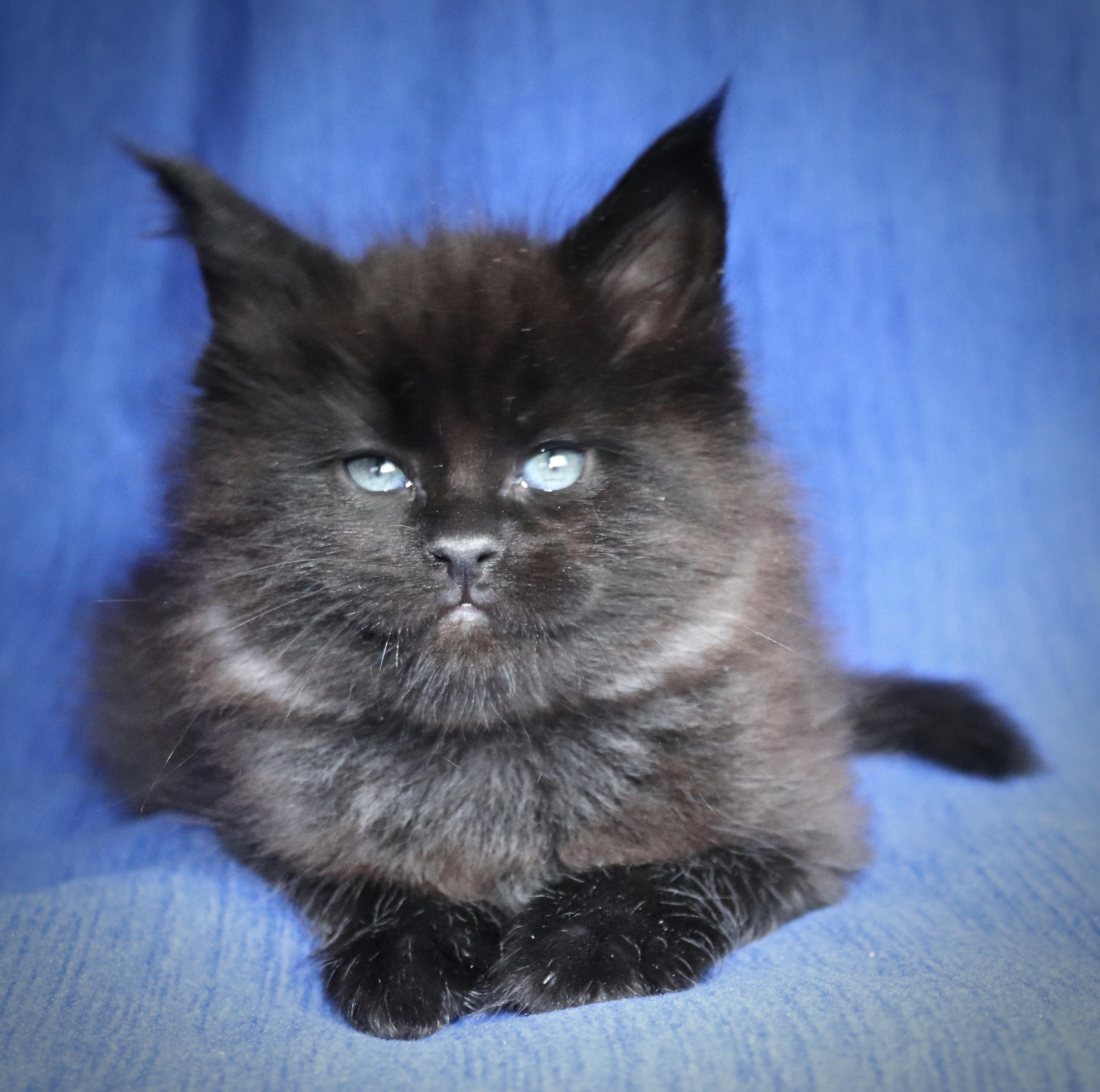 fotka kočky VRH H: HOMBRE von ERILLIAN*CZ 👦🏻