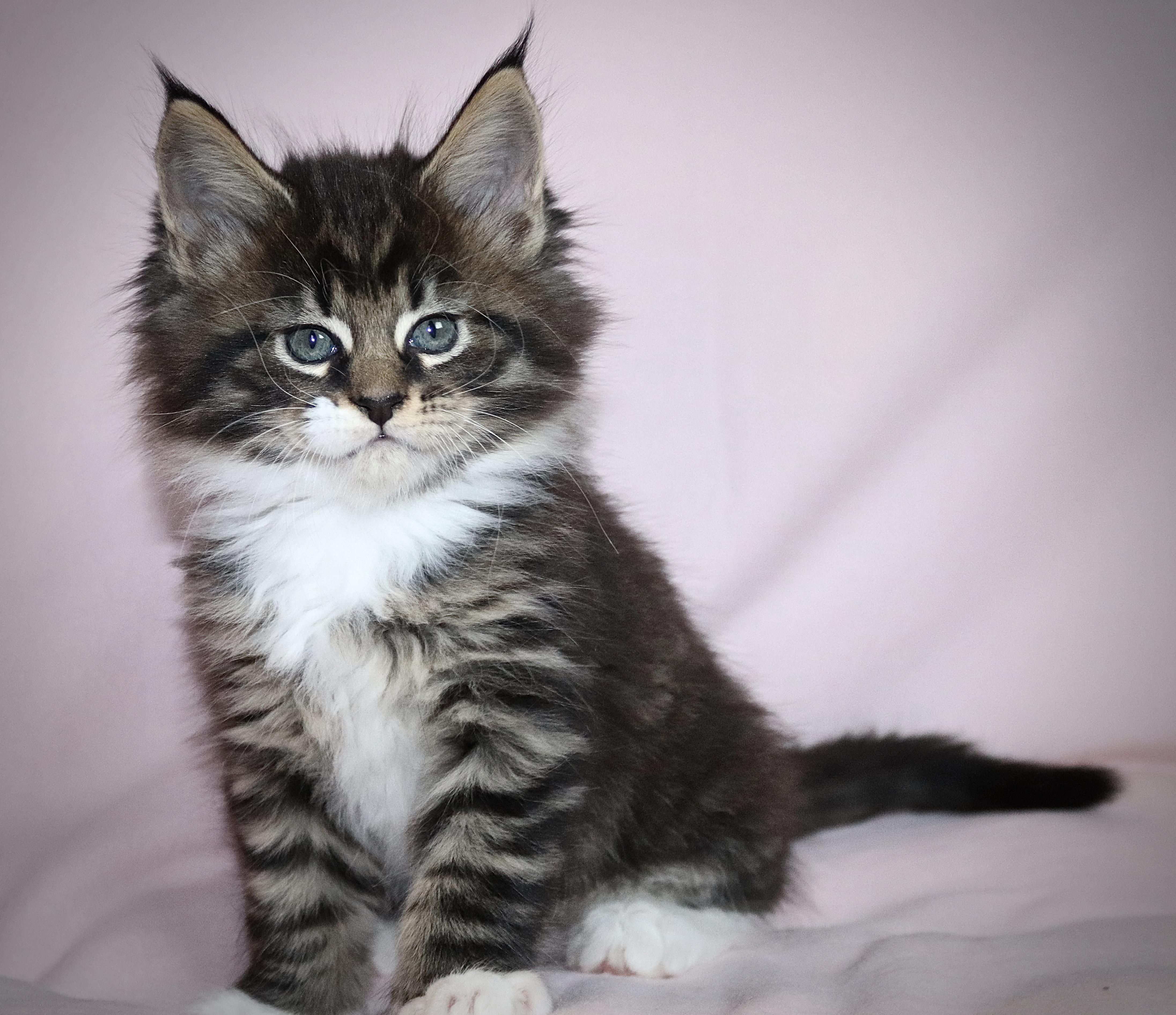 fotka kočky VRH H: HEIDI von ERILLIAN*CZ 👧🏼