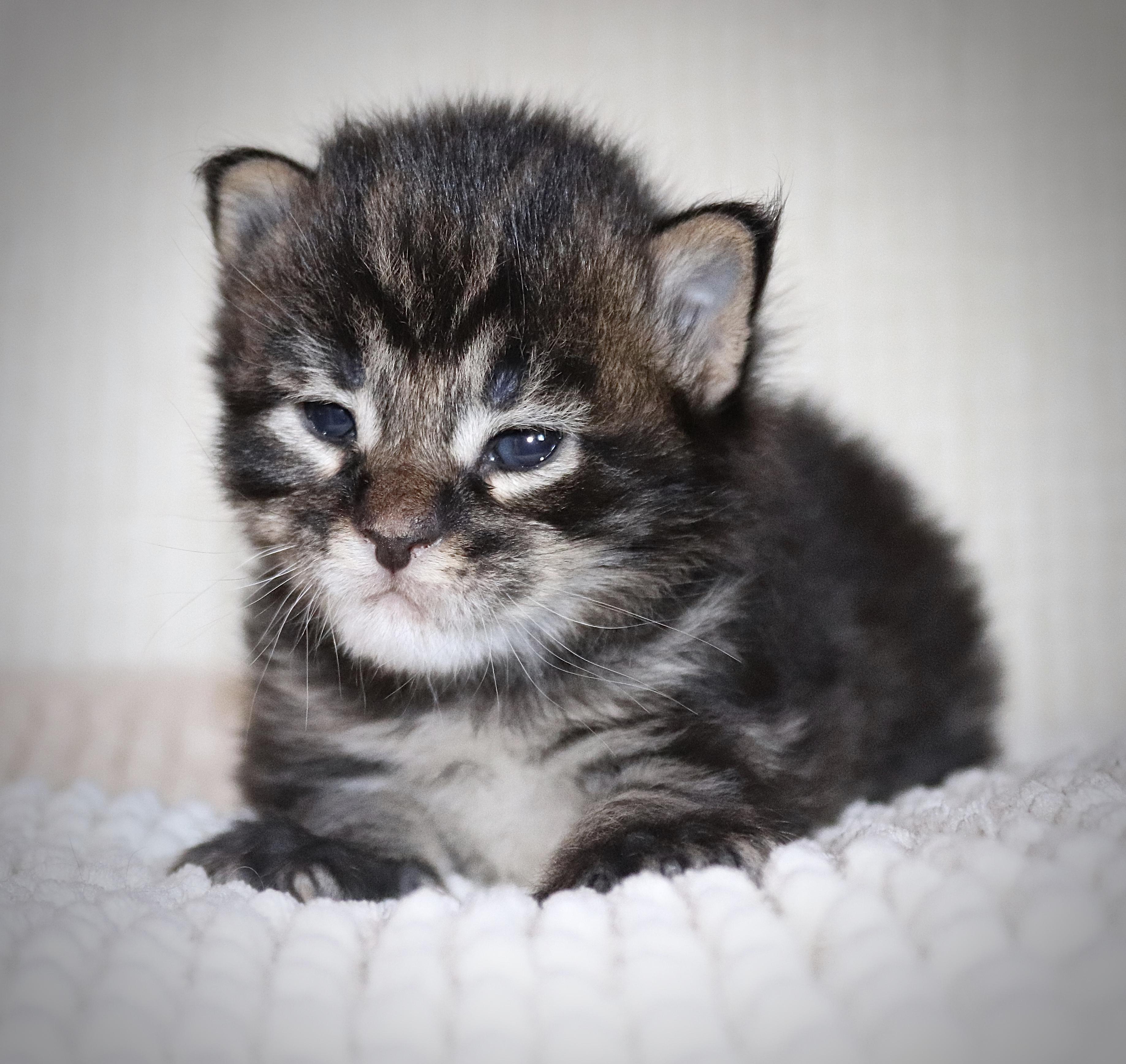 fotka kočky VRH CH: CHARLIZE UNO von ERILLIAN*CZ