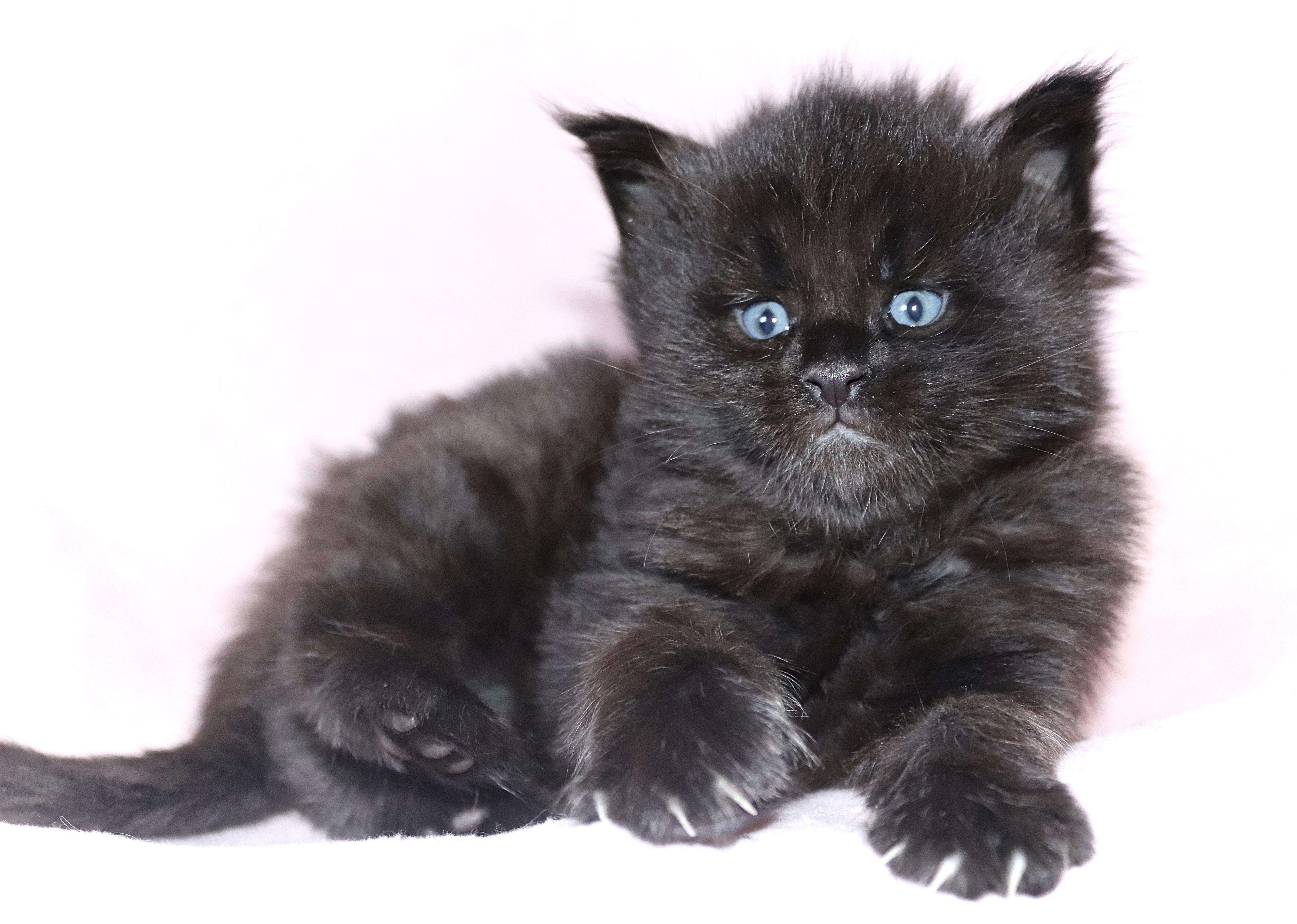fotka kočky VRH CH: CHARISMA UNO von ERILLIAN*CZ