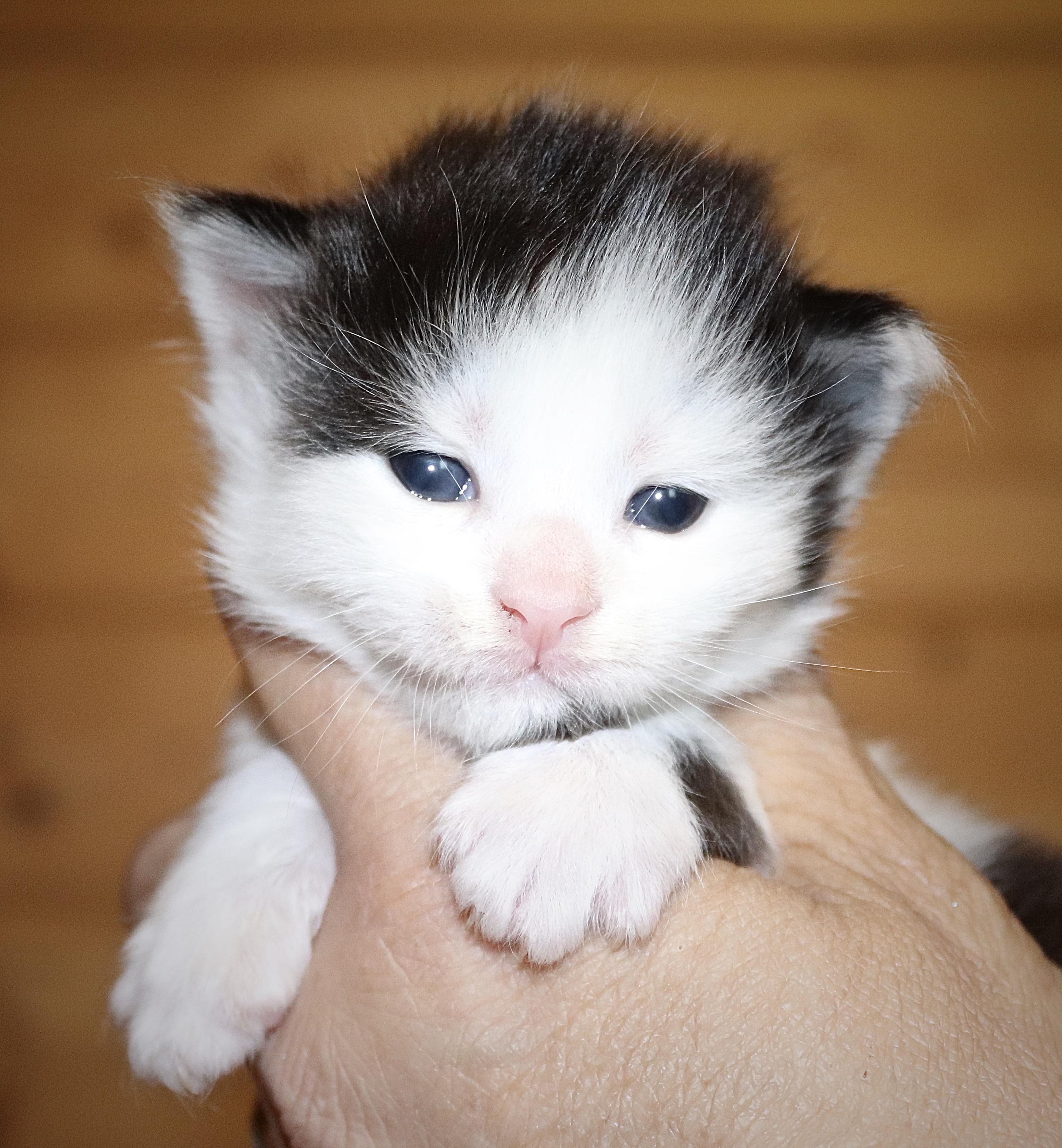 fotka kočky VRH I: ISABELLA UNO VON ERILLIAN*CZ