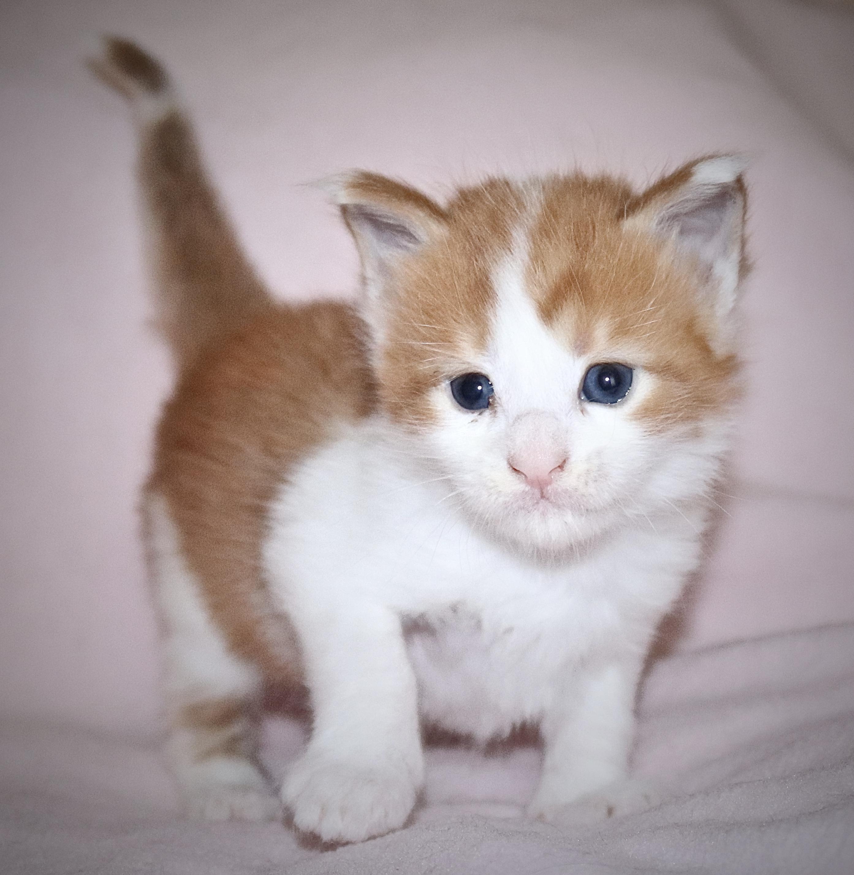 fotka kočky VRH I: INDIAN UNO VON ERILLIAN*CZ