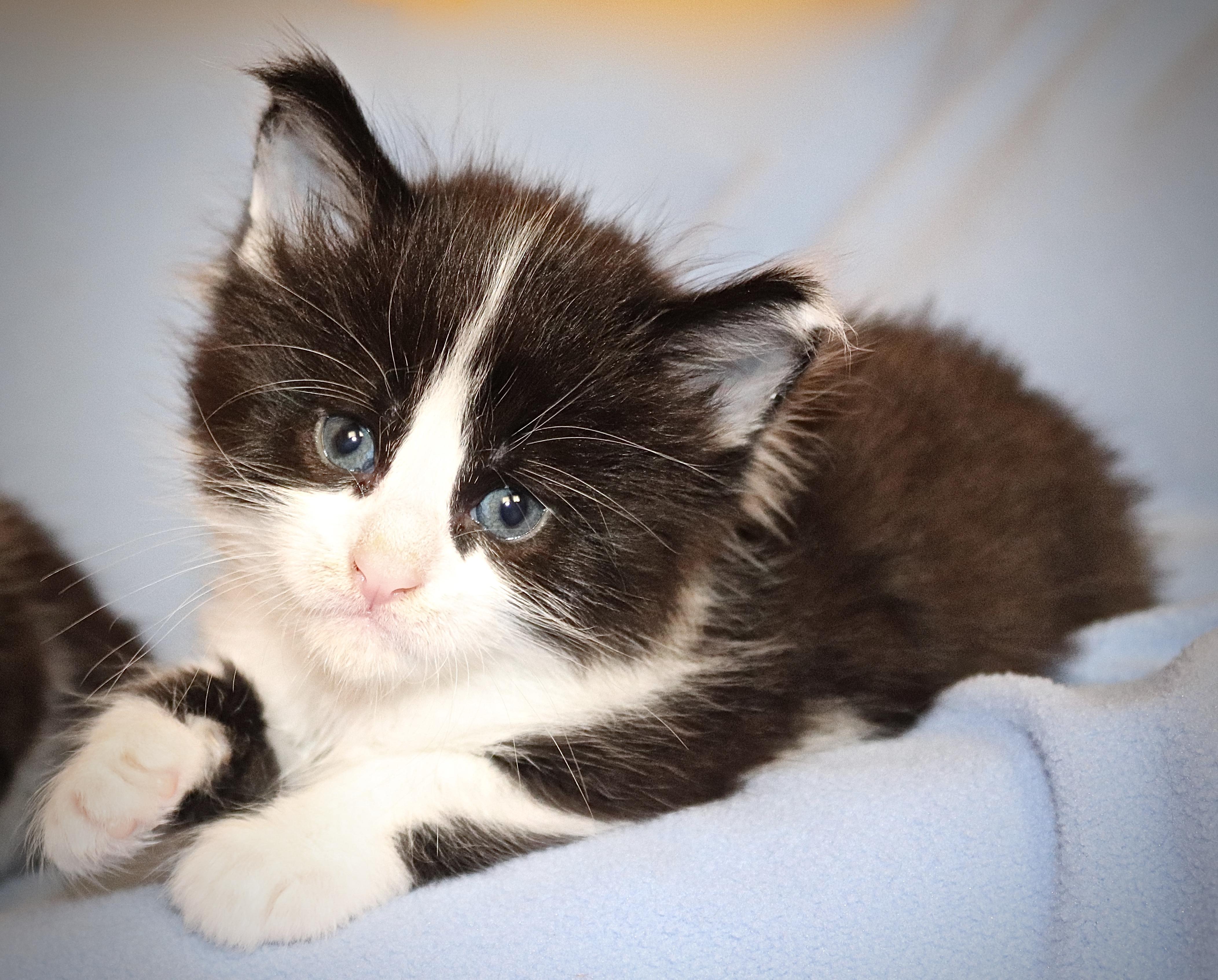 fotka kočky VRH I: INDIANA UNO VON ERILLIAN*CZ
