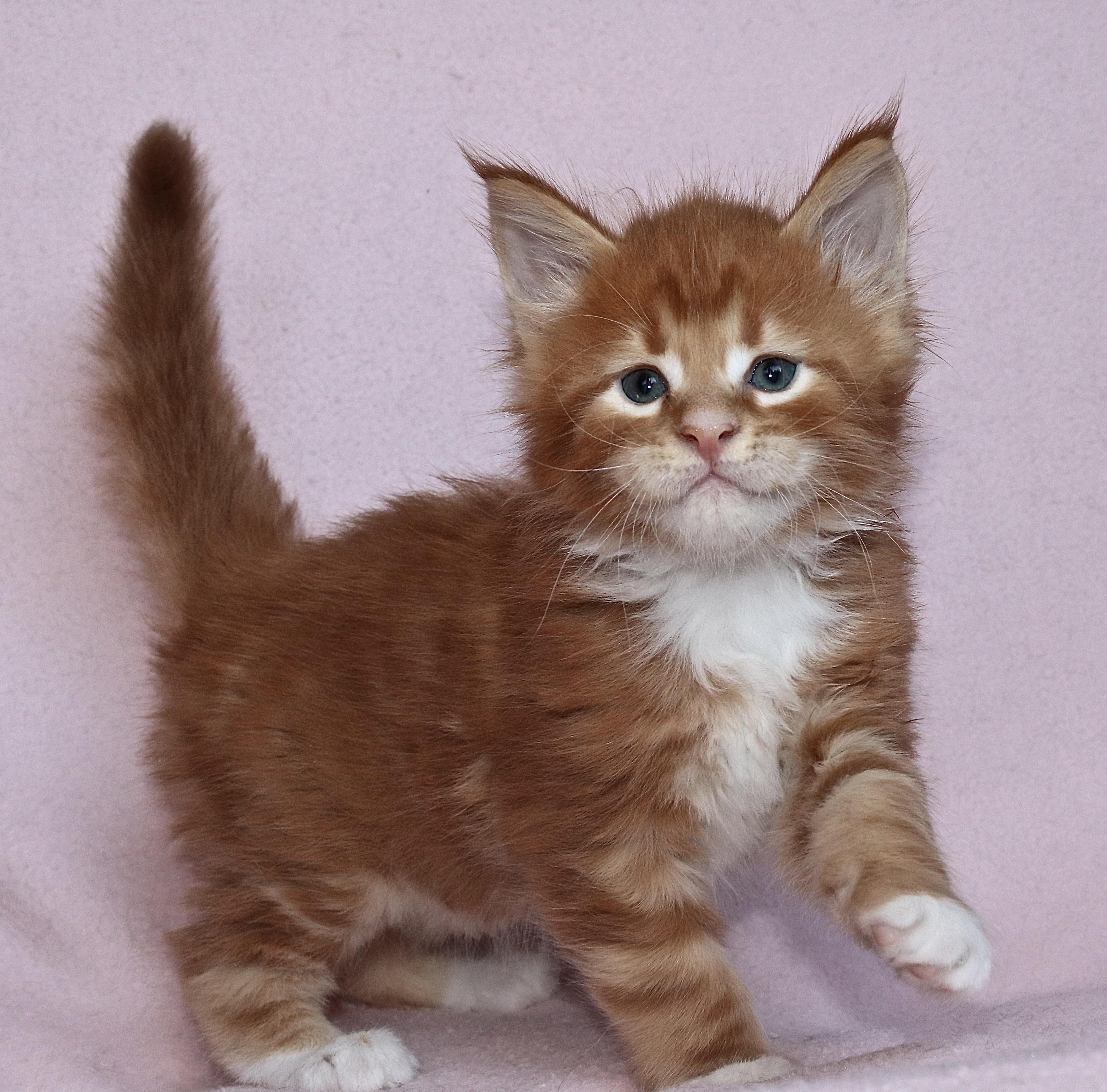 fotka kočky VRH I: IGOR UNO VON ERILLIAN*CZ