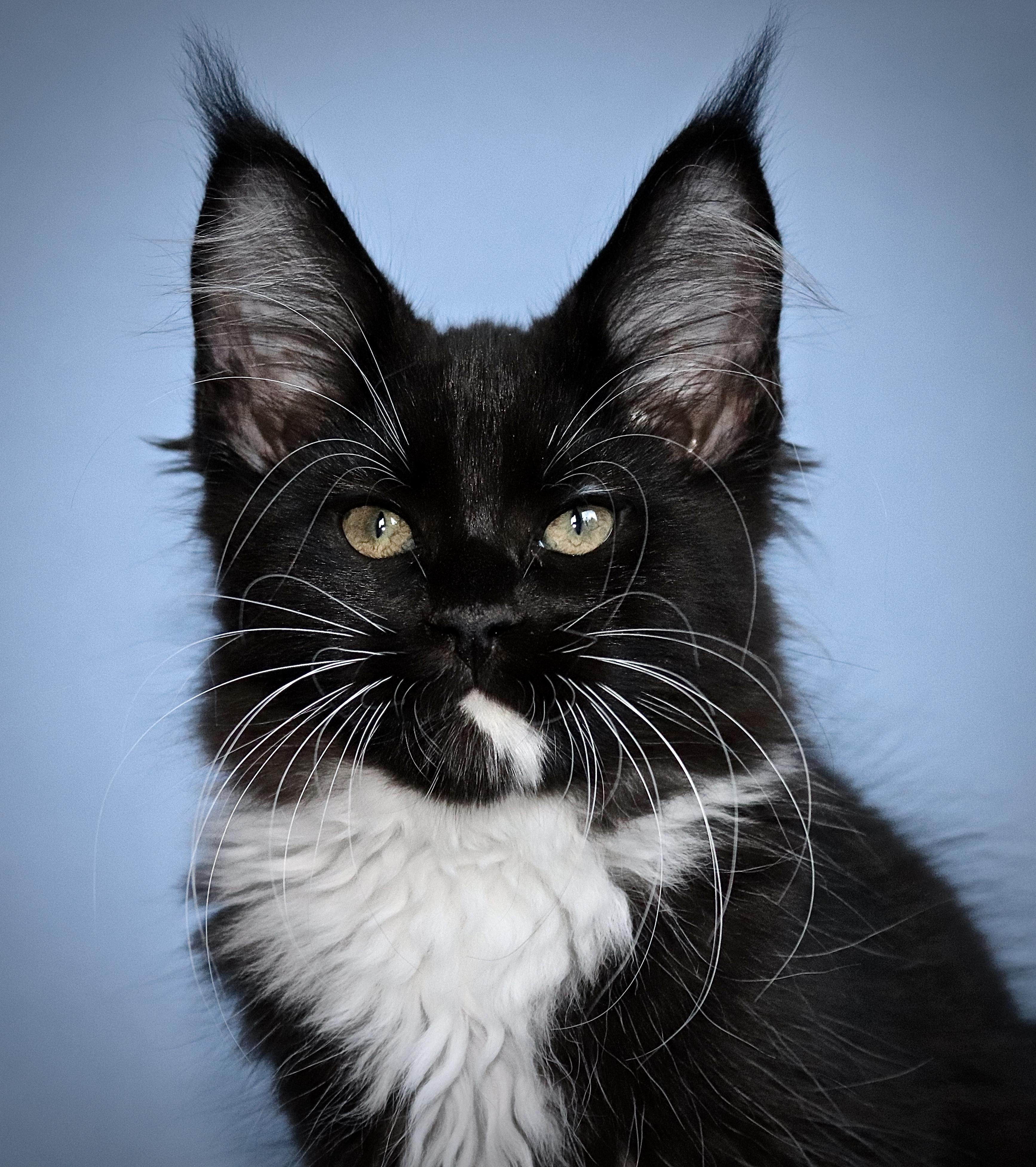 fotka kočky VRH I: IWA UNO VON ERILLIAN*CZ