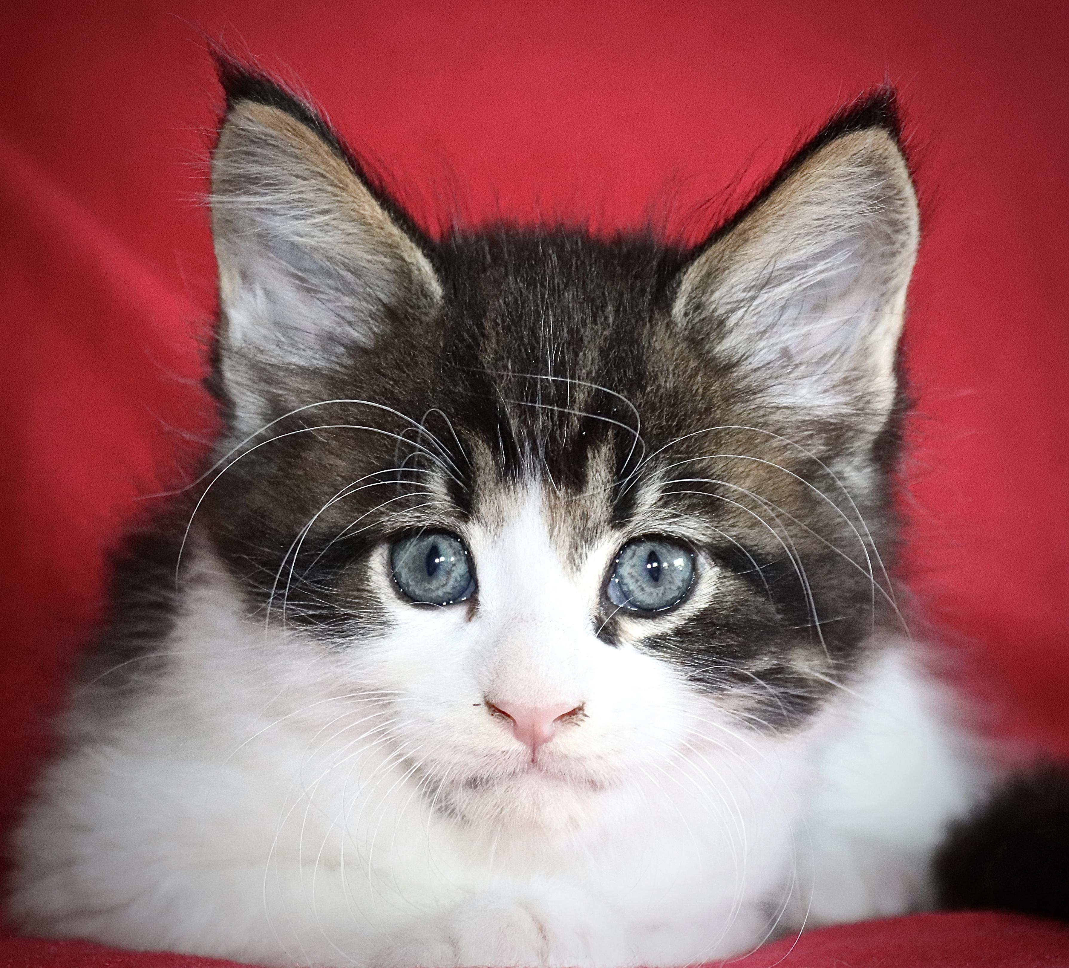 fotka kočky VRH I: INDOOR UNO VON ERILLIAN*CZ