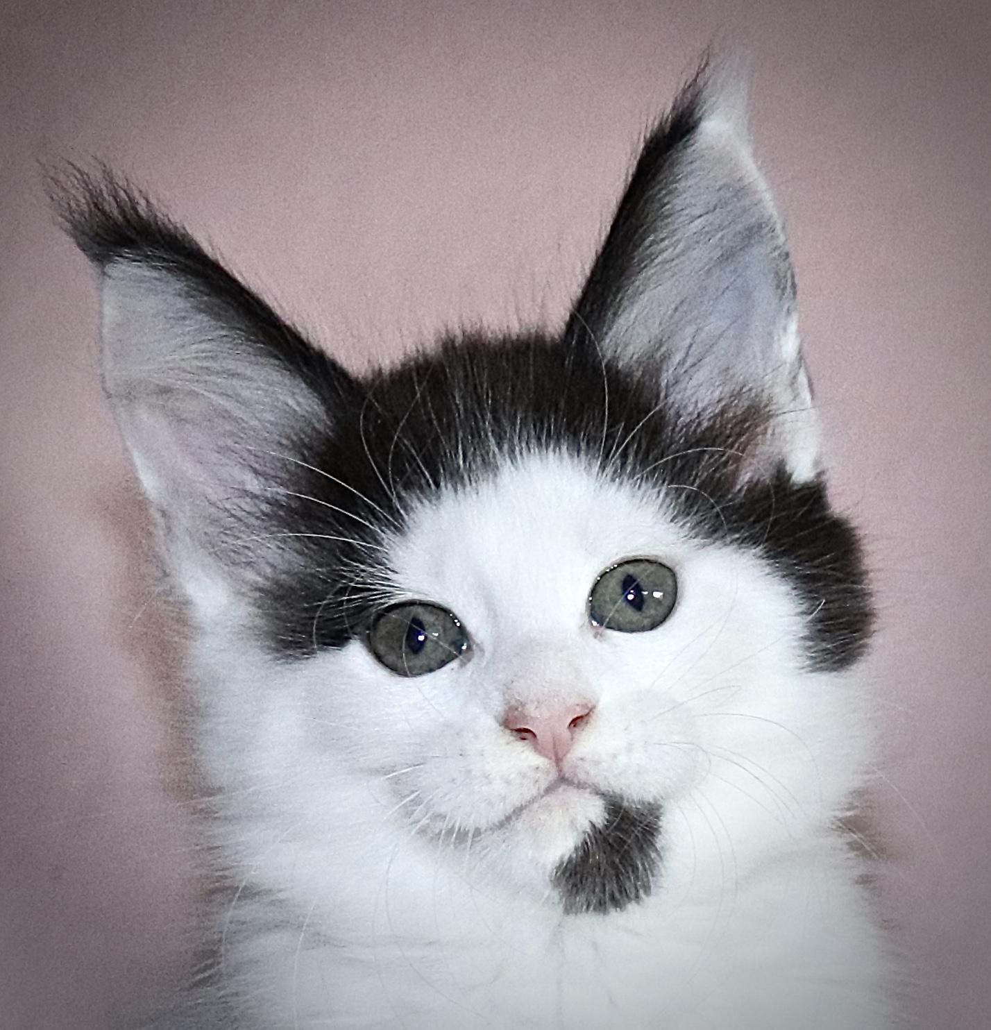 kočka VRH I: ISABELLA UNO VON ERILLIAN*CZ