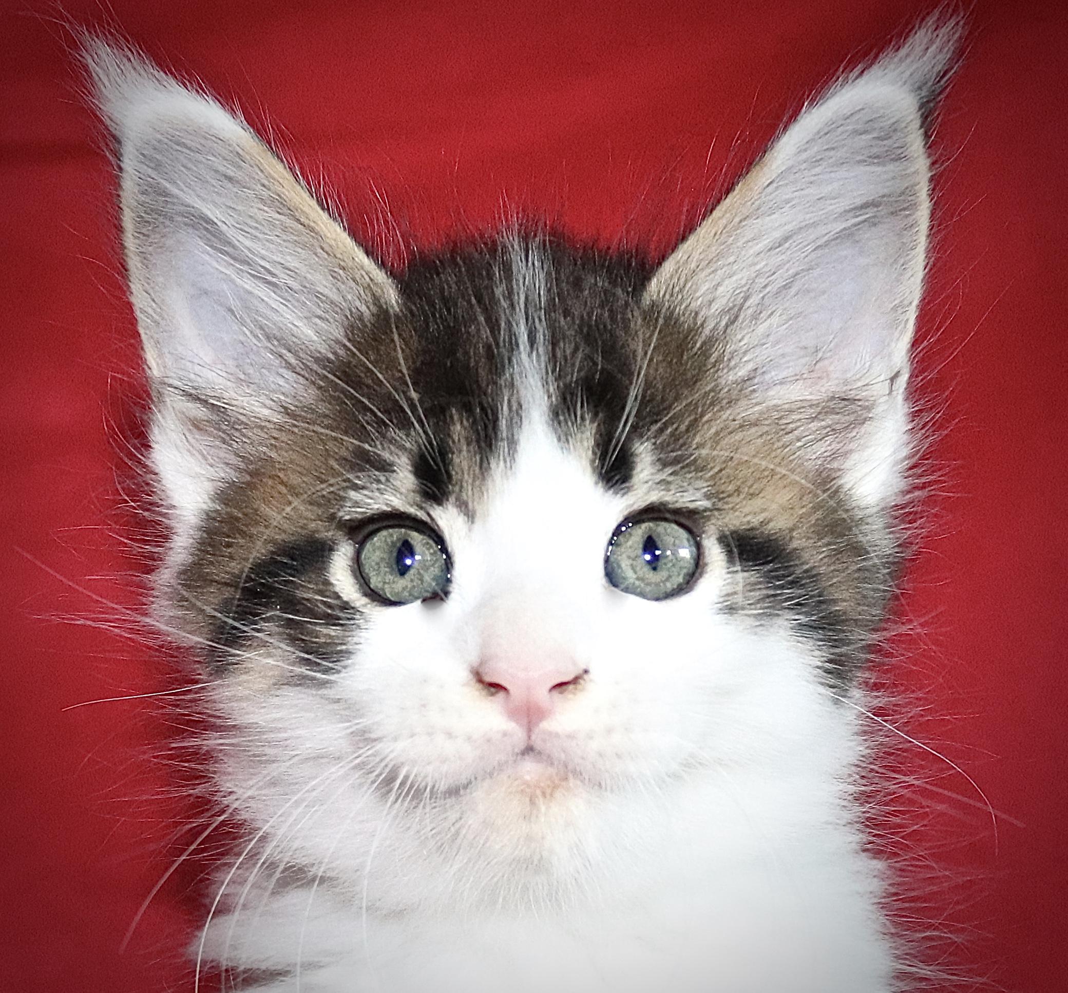 kočka VRH I: IKARUS UNO VON ERILLIAN*CZ