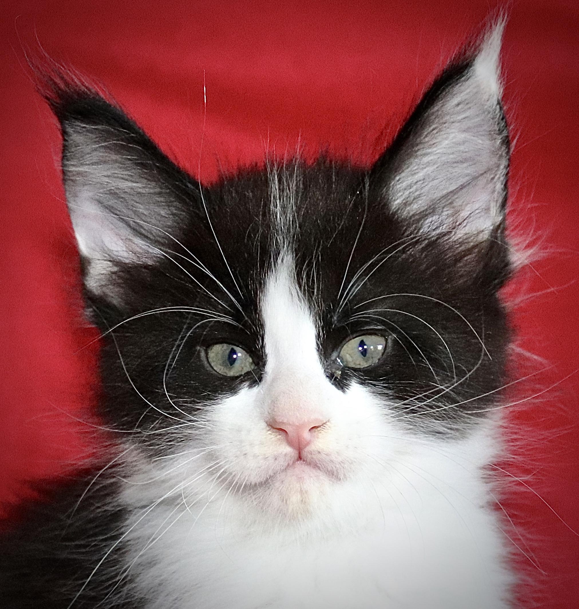 kočka VRH I: INDIANA UNO VON ERILLIAN*CZ
