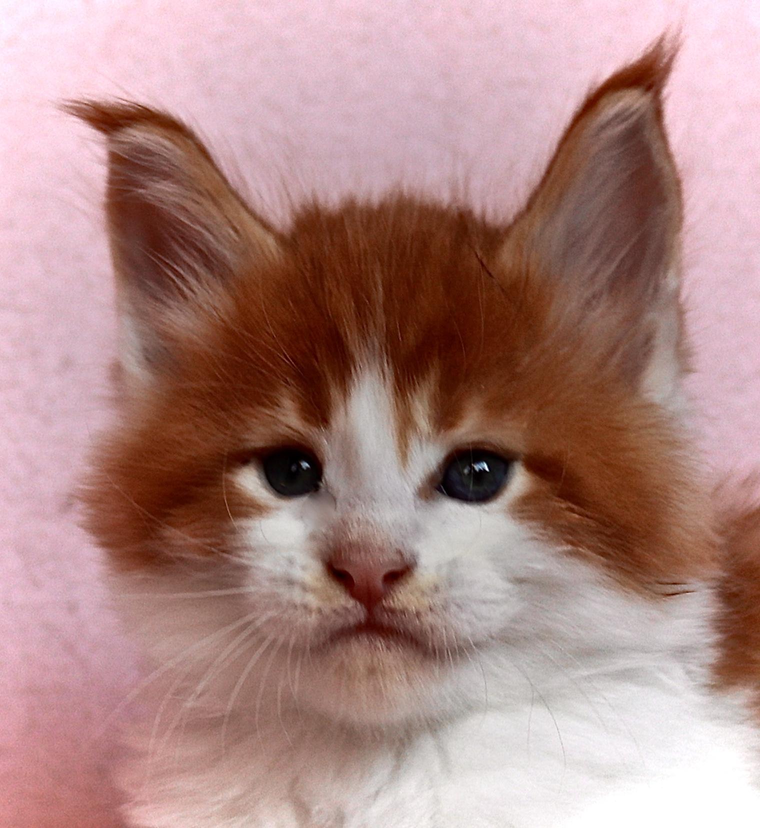 fotka kočky VRH I: ISSAC UNO VON ERILLIAN*CZ