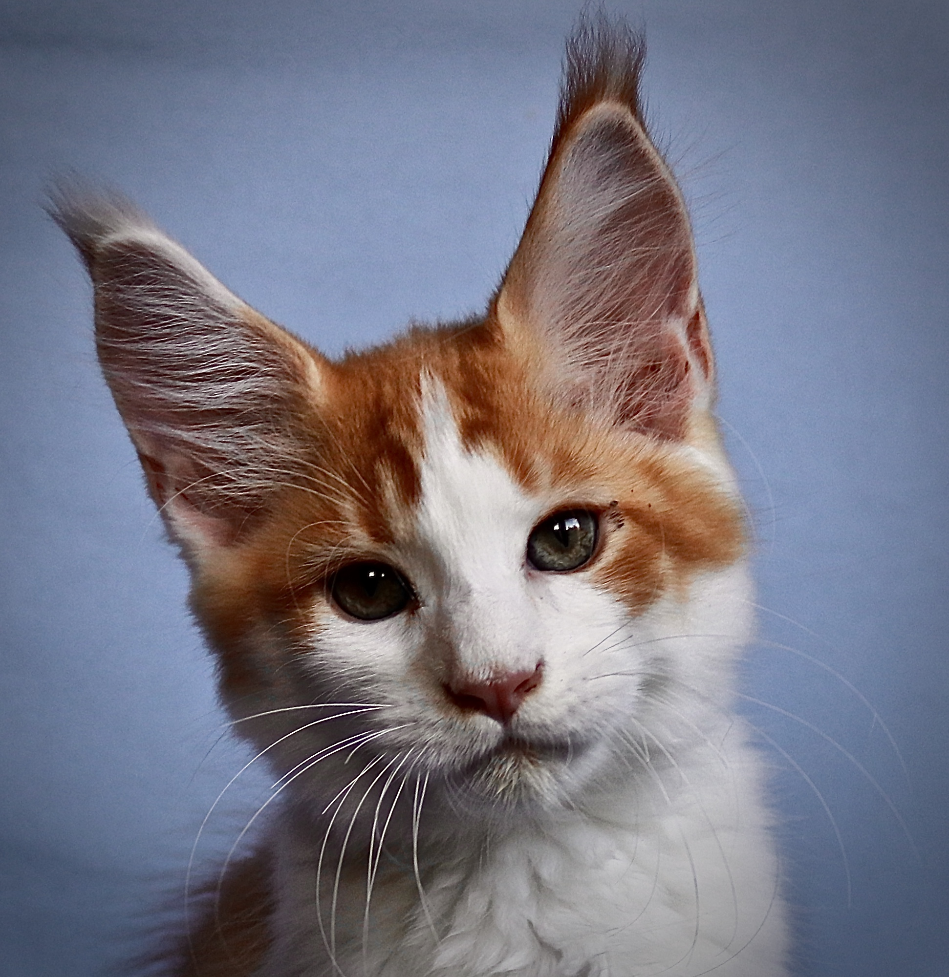 kočka VRH I: IMAGE UNO VON ERILLIAN*CZ
