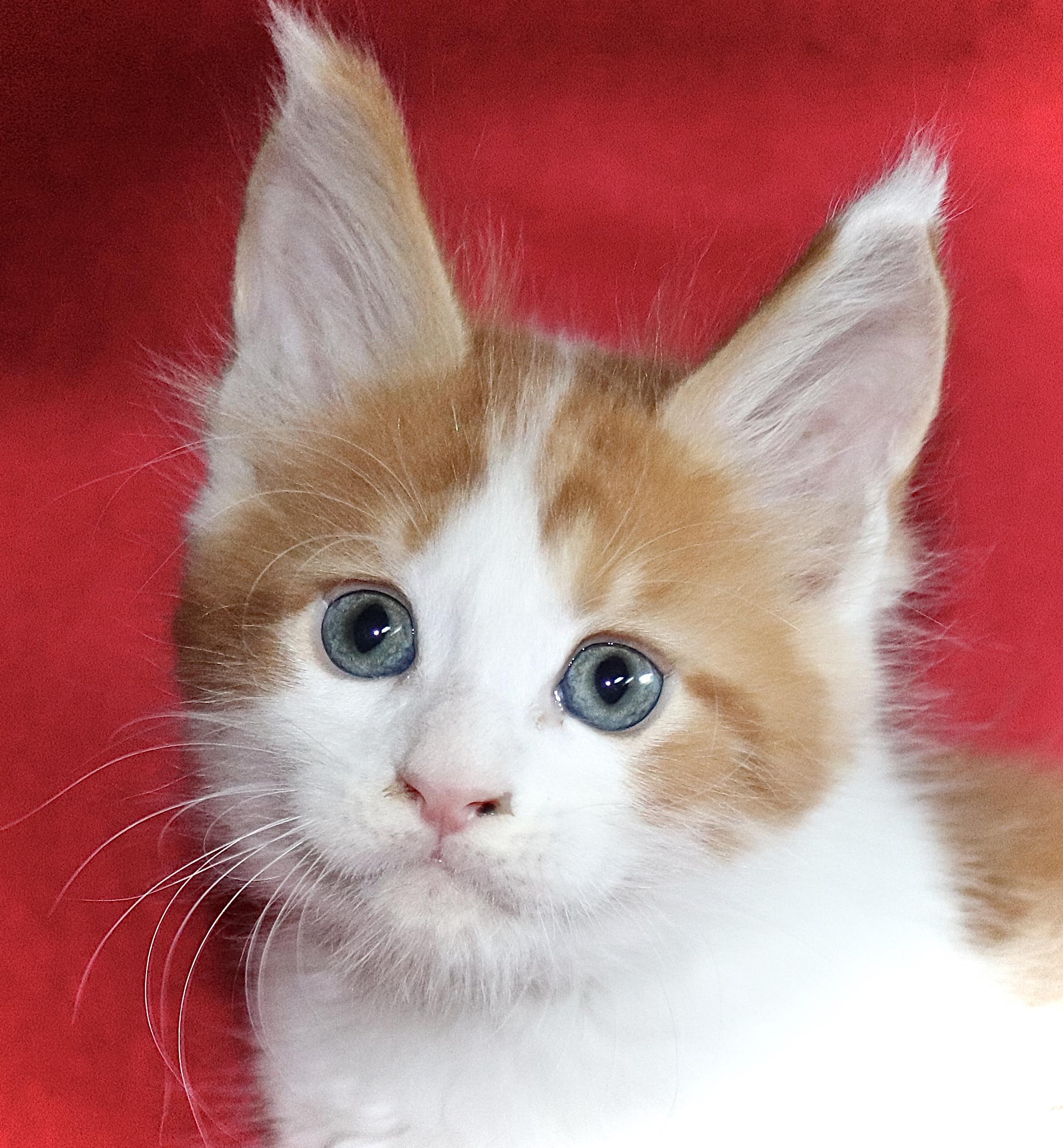 kočka VRH I: INDIAN UNO VON ERILLIAN*CZ