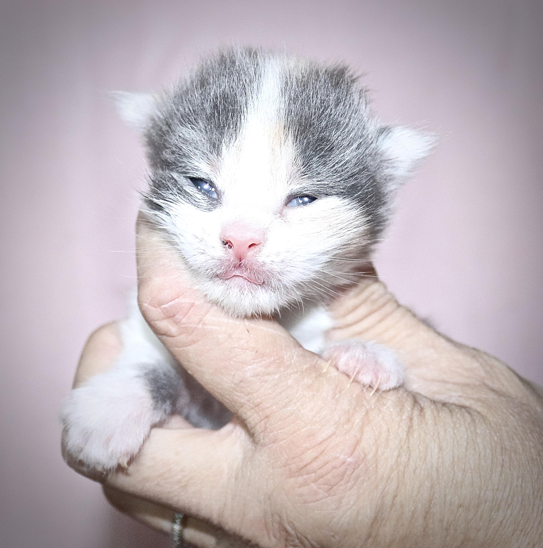 fotka kočky VRH J: JASMINA VON ERILLIAN*CZ