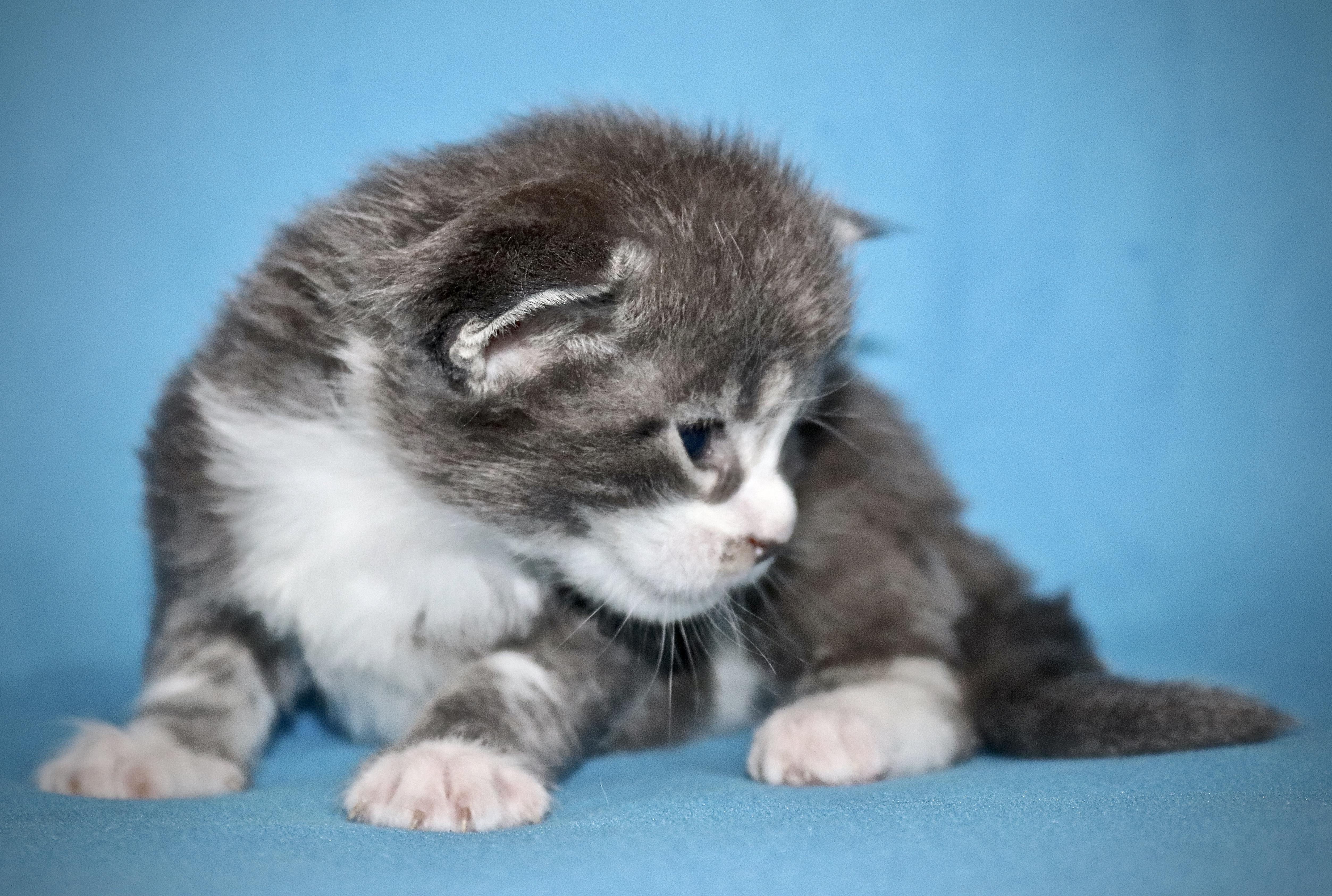 fotka kočky VRH J: JOHANKA VON ERILLIAN*CZ