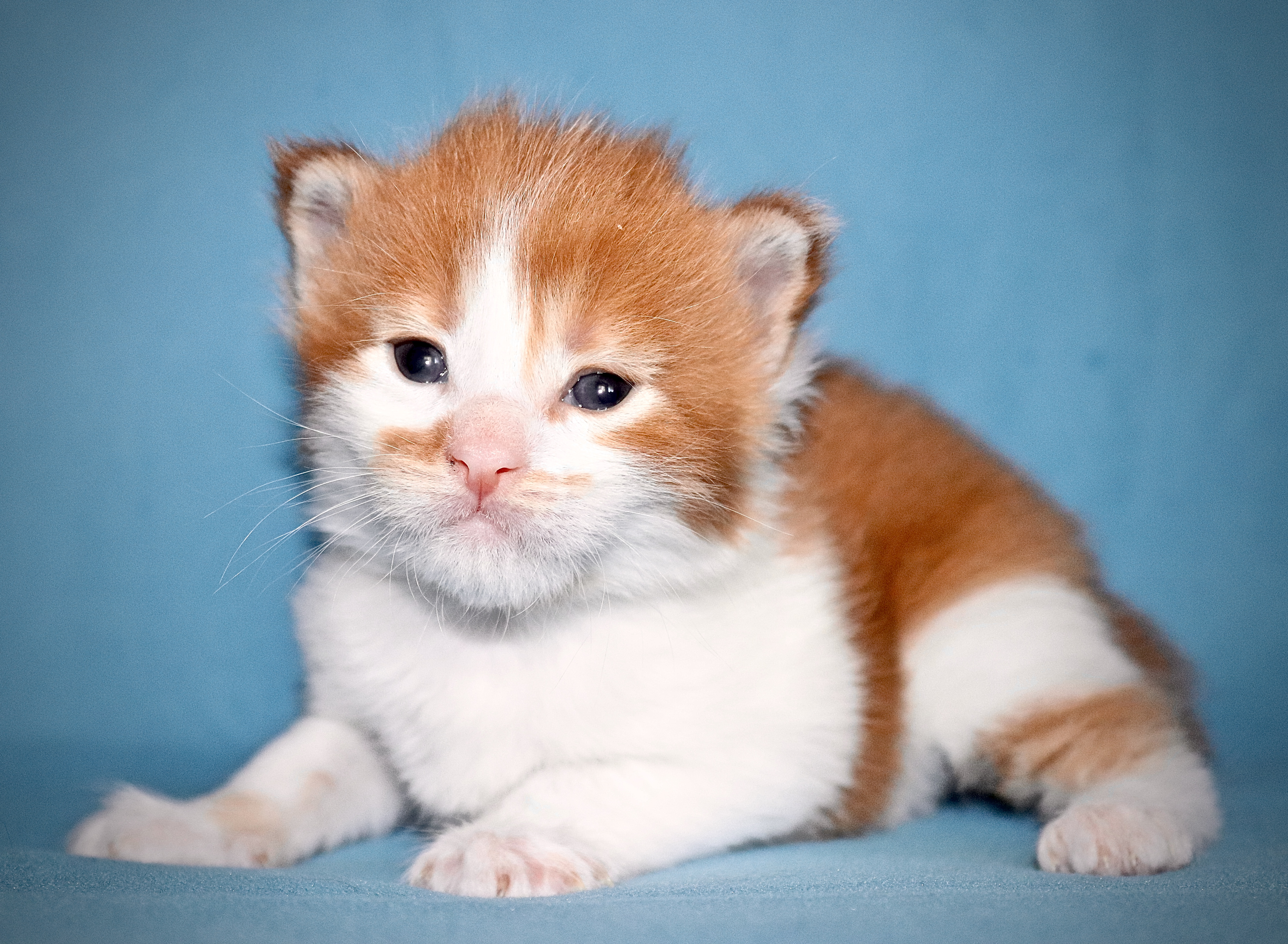 fotka kočky VRH J: JONATHAN VON ERILLIAN*CZ