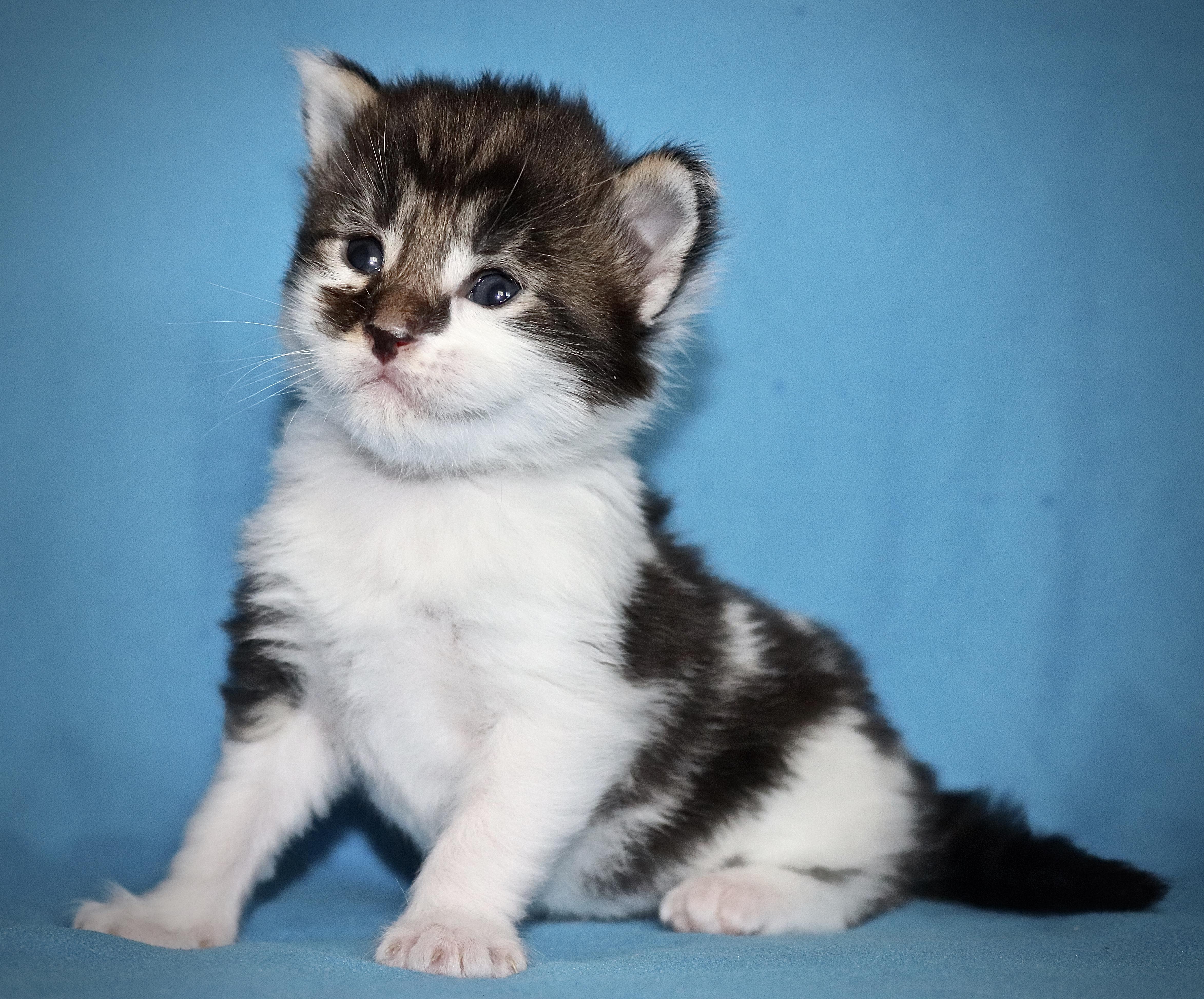 fotka kočky VRH J: JUSTYNA VON ERILLIAN*CZ
