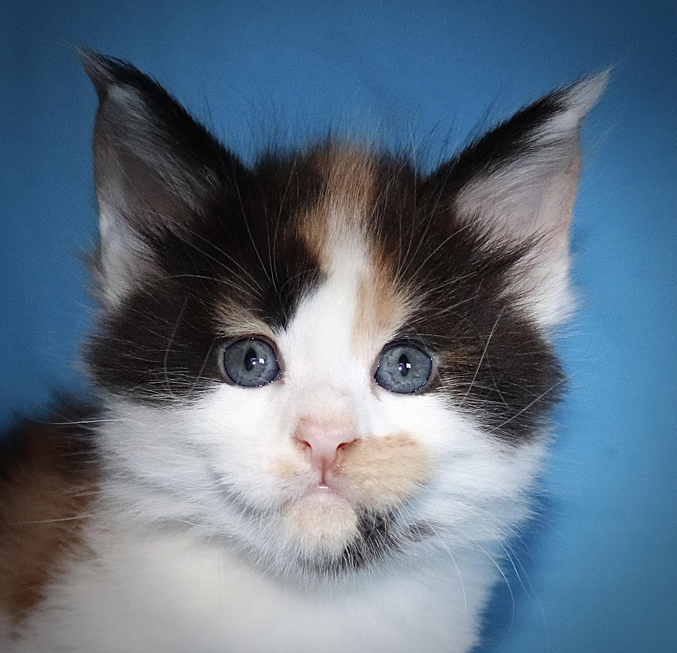 kočka VRH J: JAMAJKA VON ERILLIAN*CZ