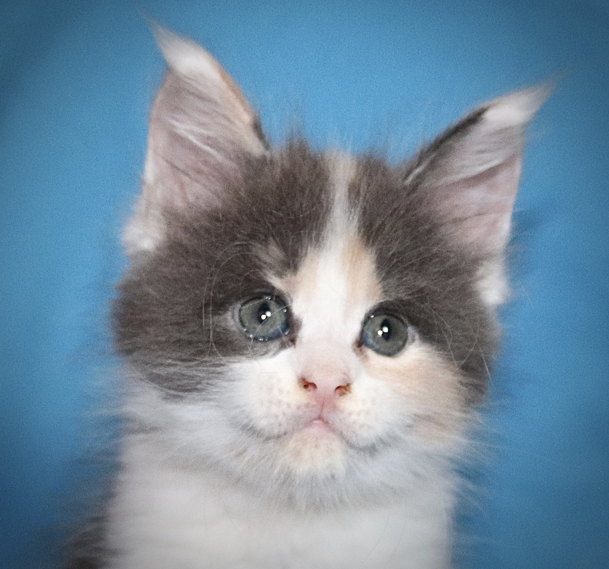 kočka VRH J: JASMINA VON ERILLIAN*CZ