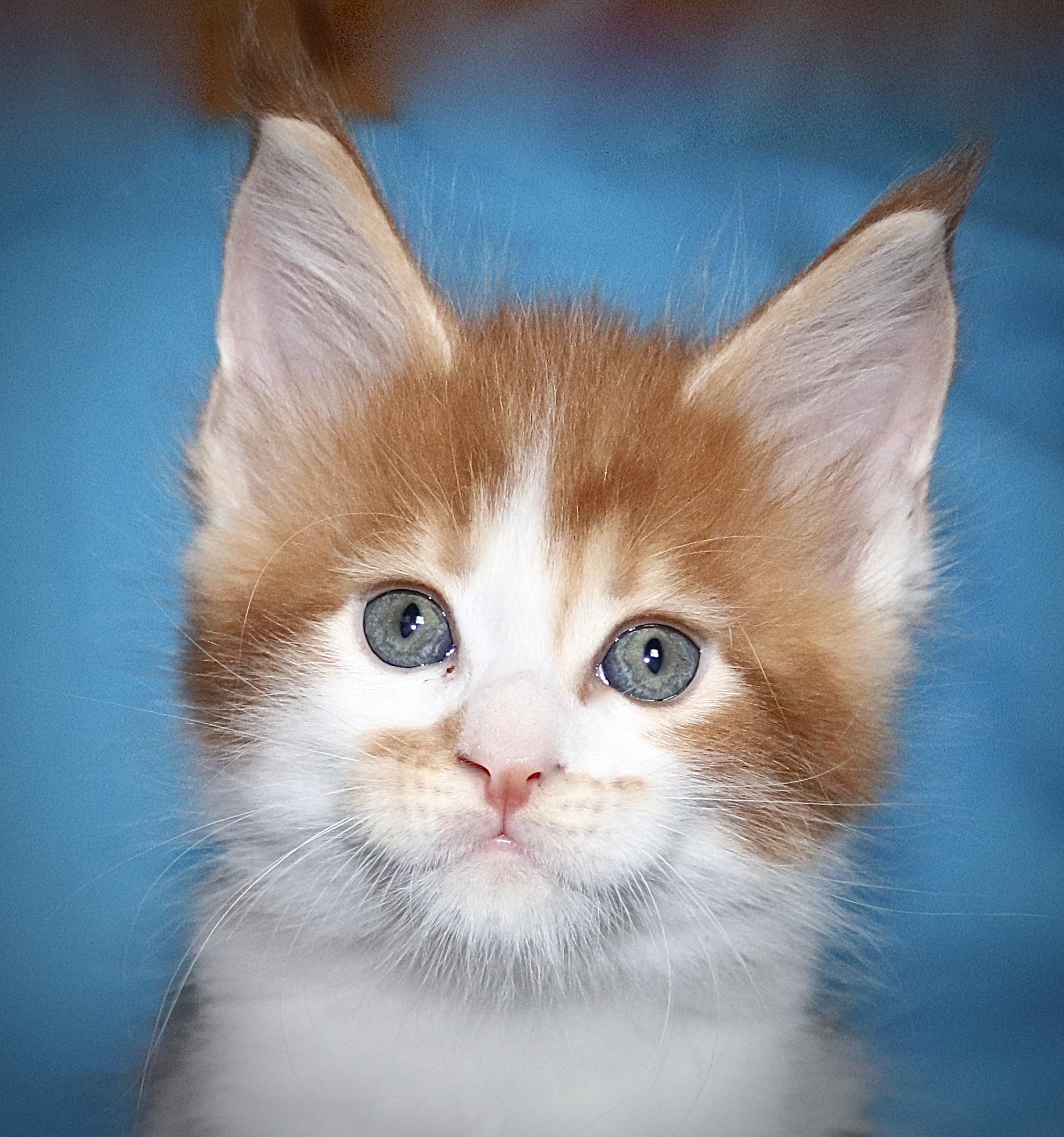 kočka VRH J: JONATHAN VON ERILLIAN*CZ