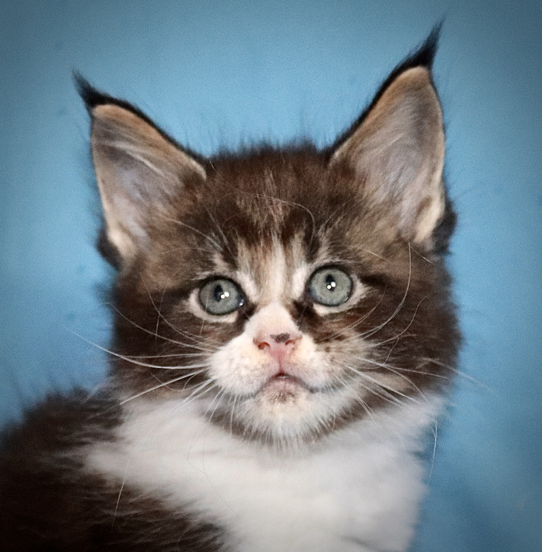 fotka kočky VRH J: JULIA VON ERILLIAN*CZ