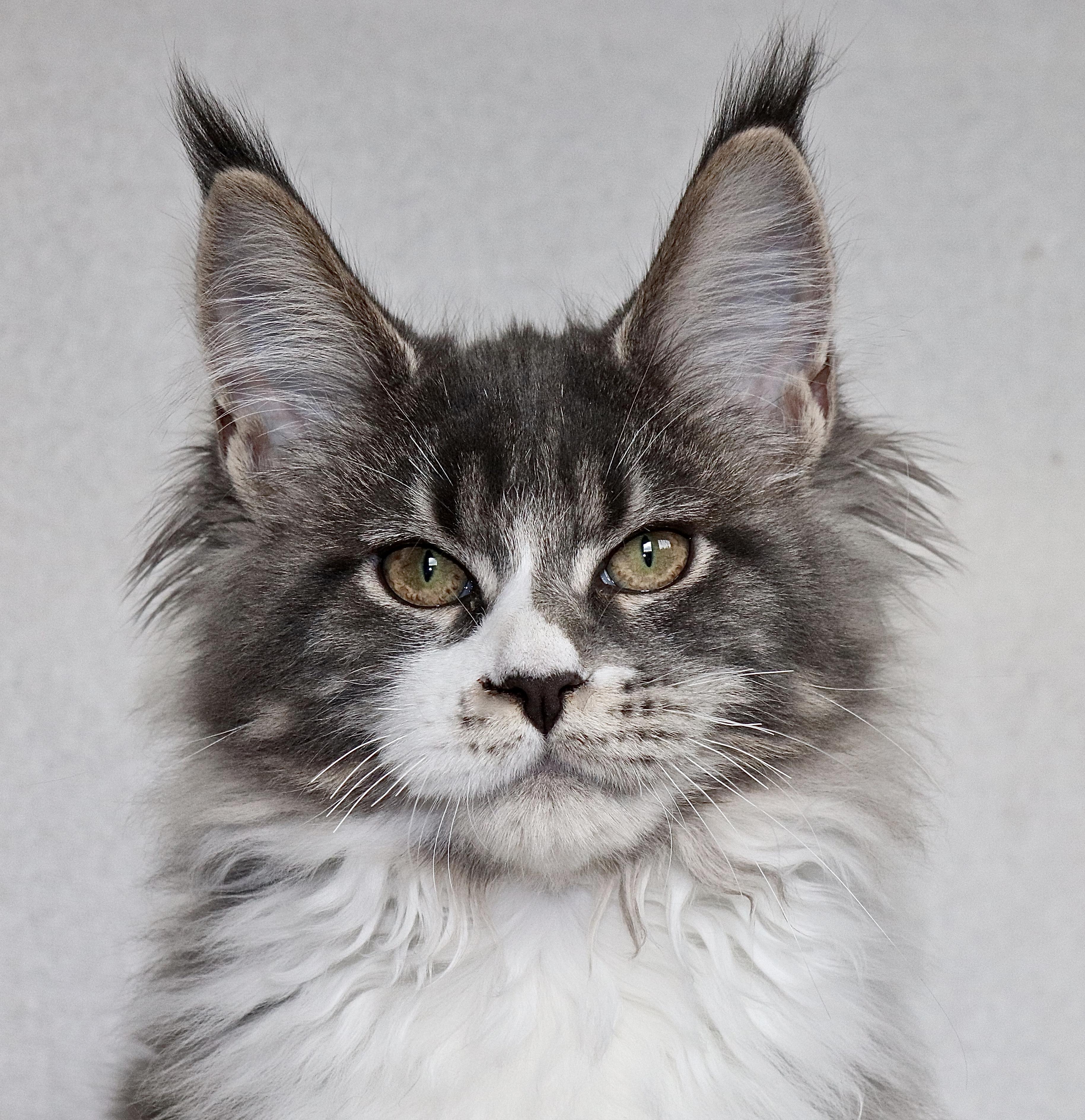 fotka kočky Johanka von Erillian,CZ