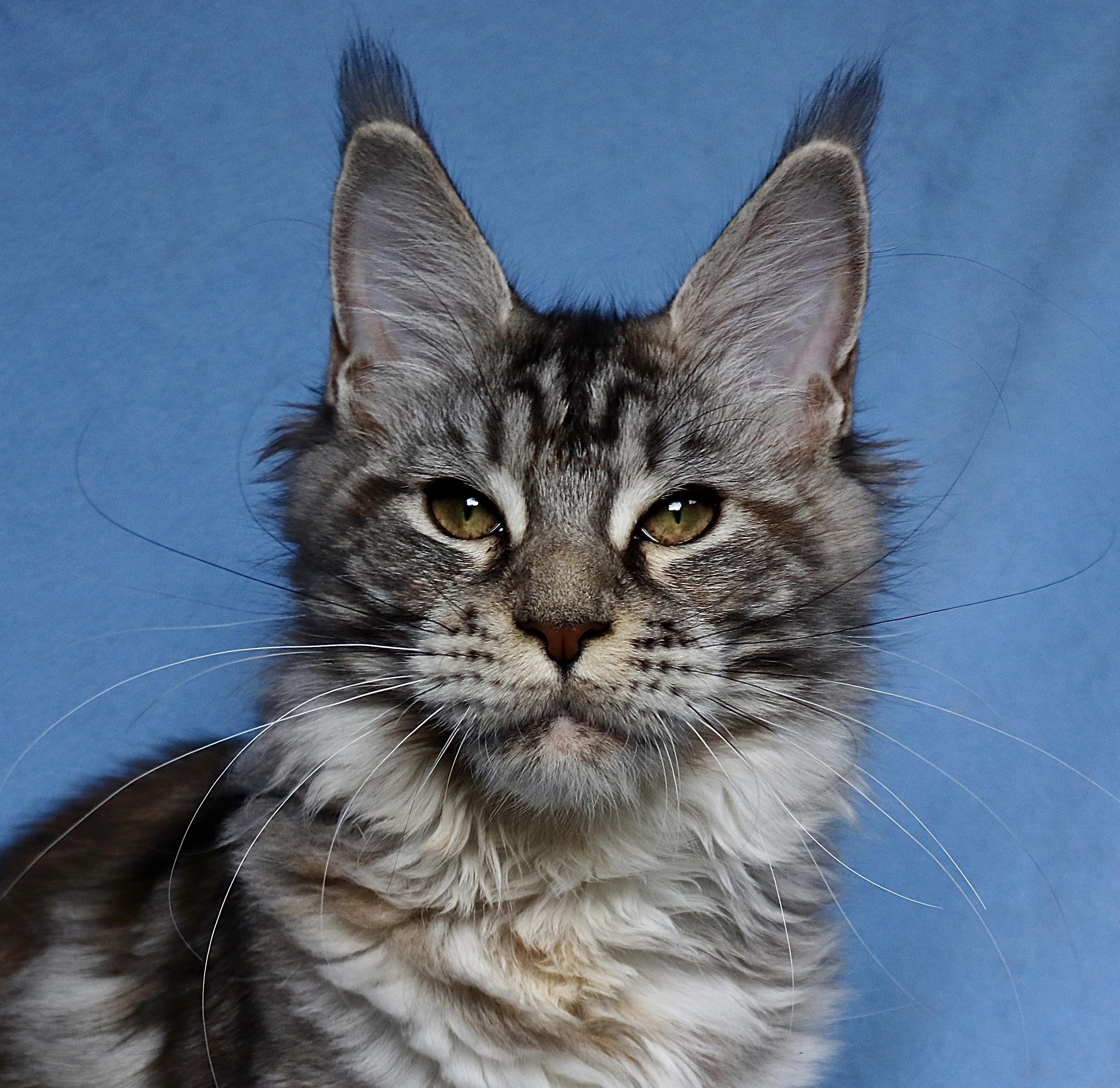fotka kočky WANNABE GATTACAMOON*SK