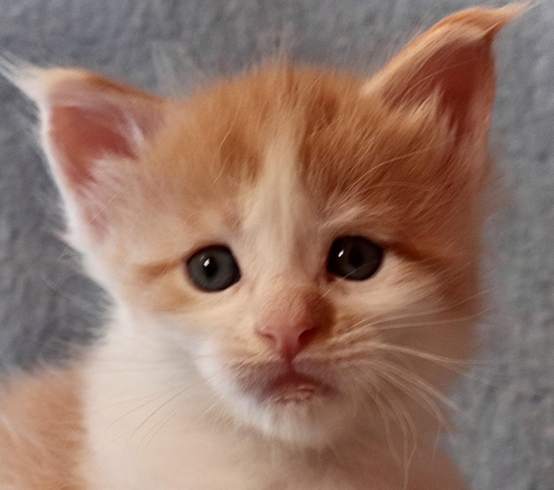 fotka kočky VRH K: KEWIN VON ERILLIAN*CZ