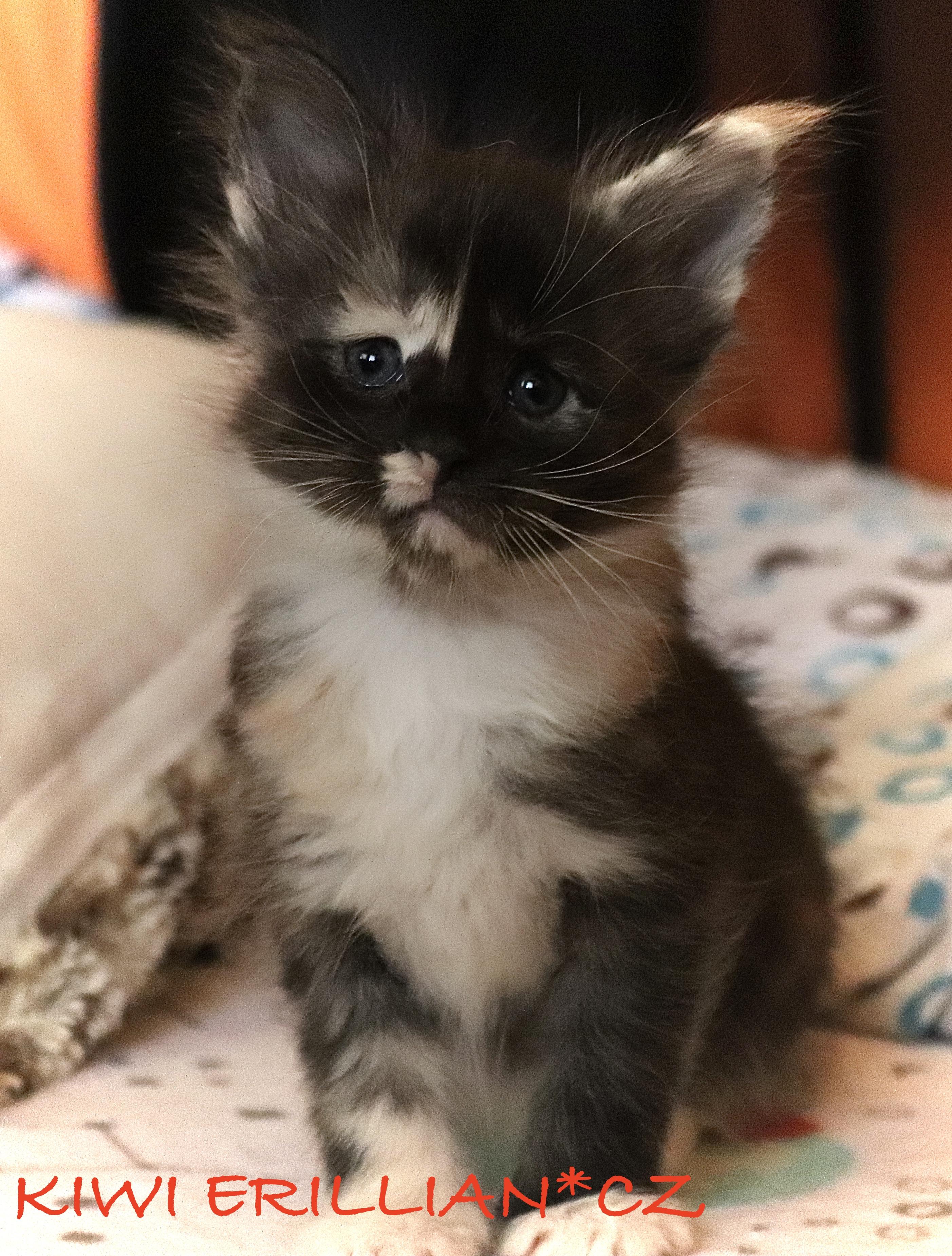 fotka kočky VRH K: KIWI VON ERILLIAN*CZ